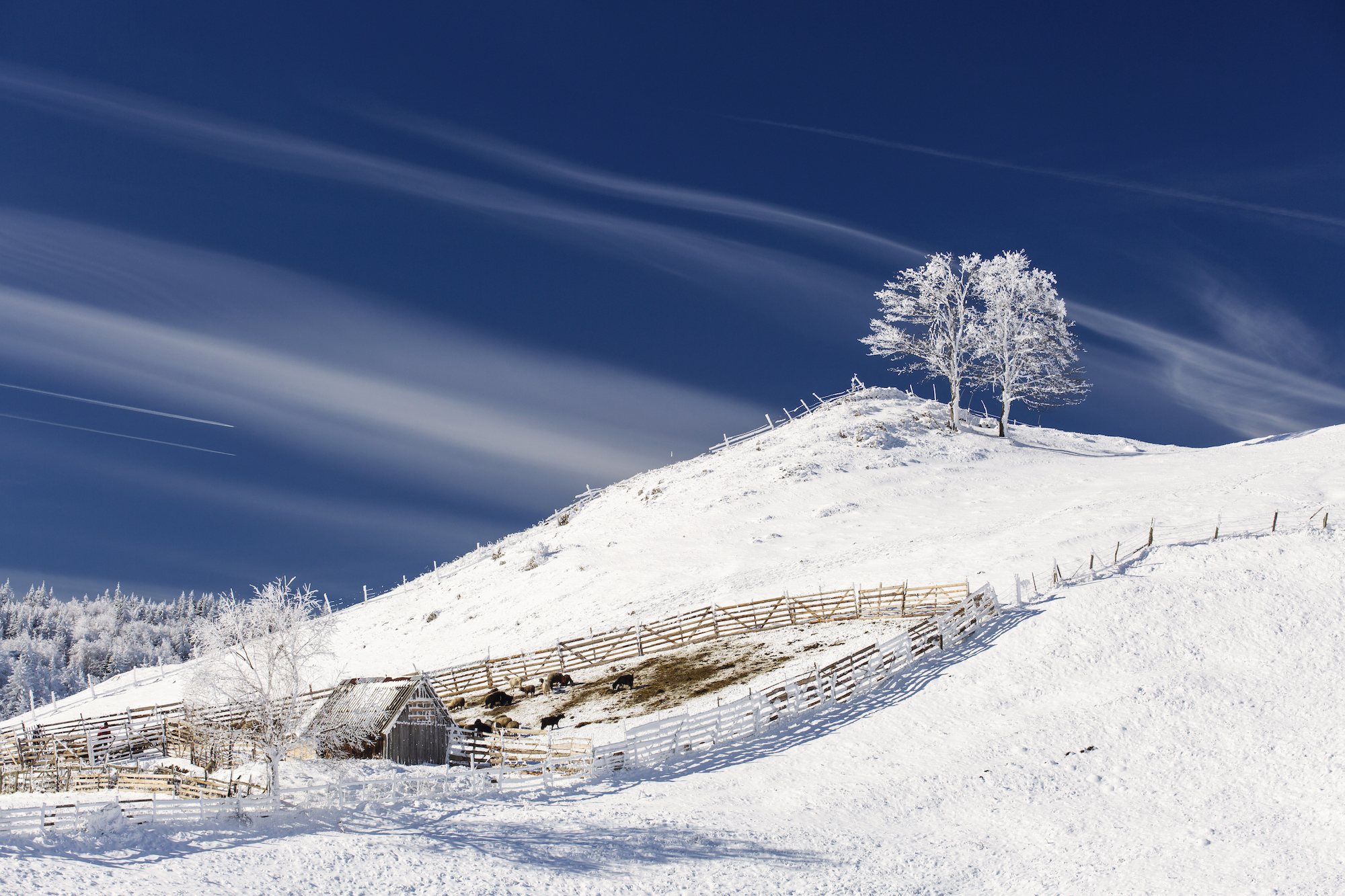 Single tree in frost, landscape in snow against blue sky