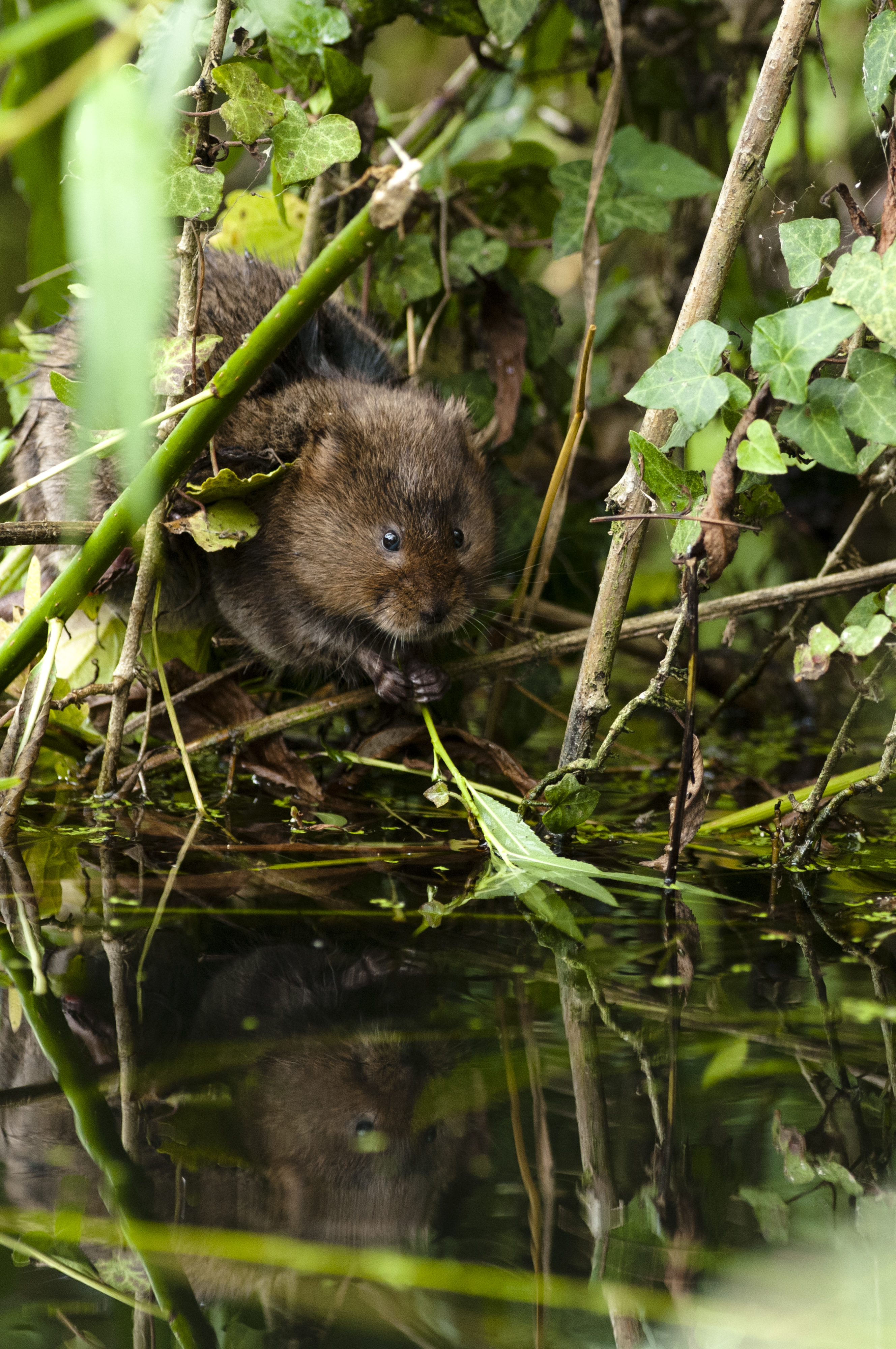 Portrait of a water vole in a nature reserve