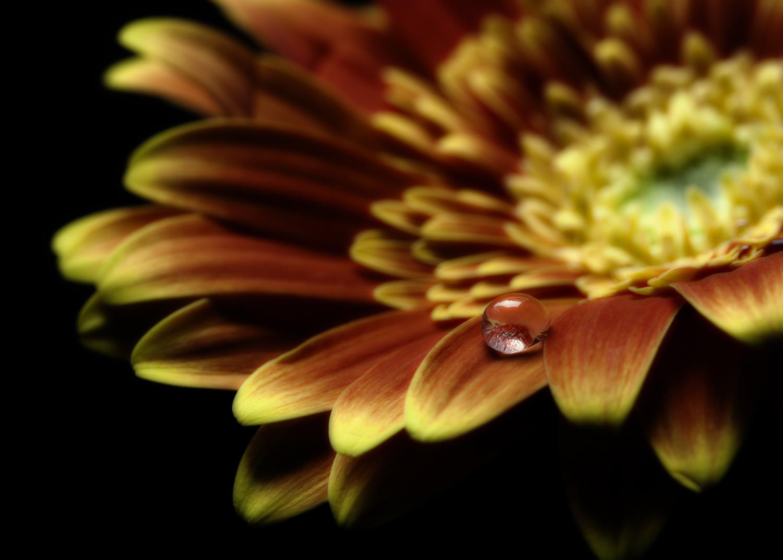 Macro photograph of a Waterdrop on a Gerbera Daisy
