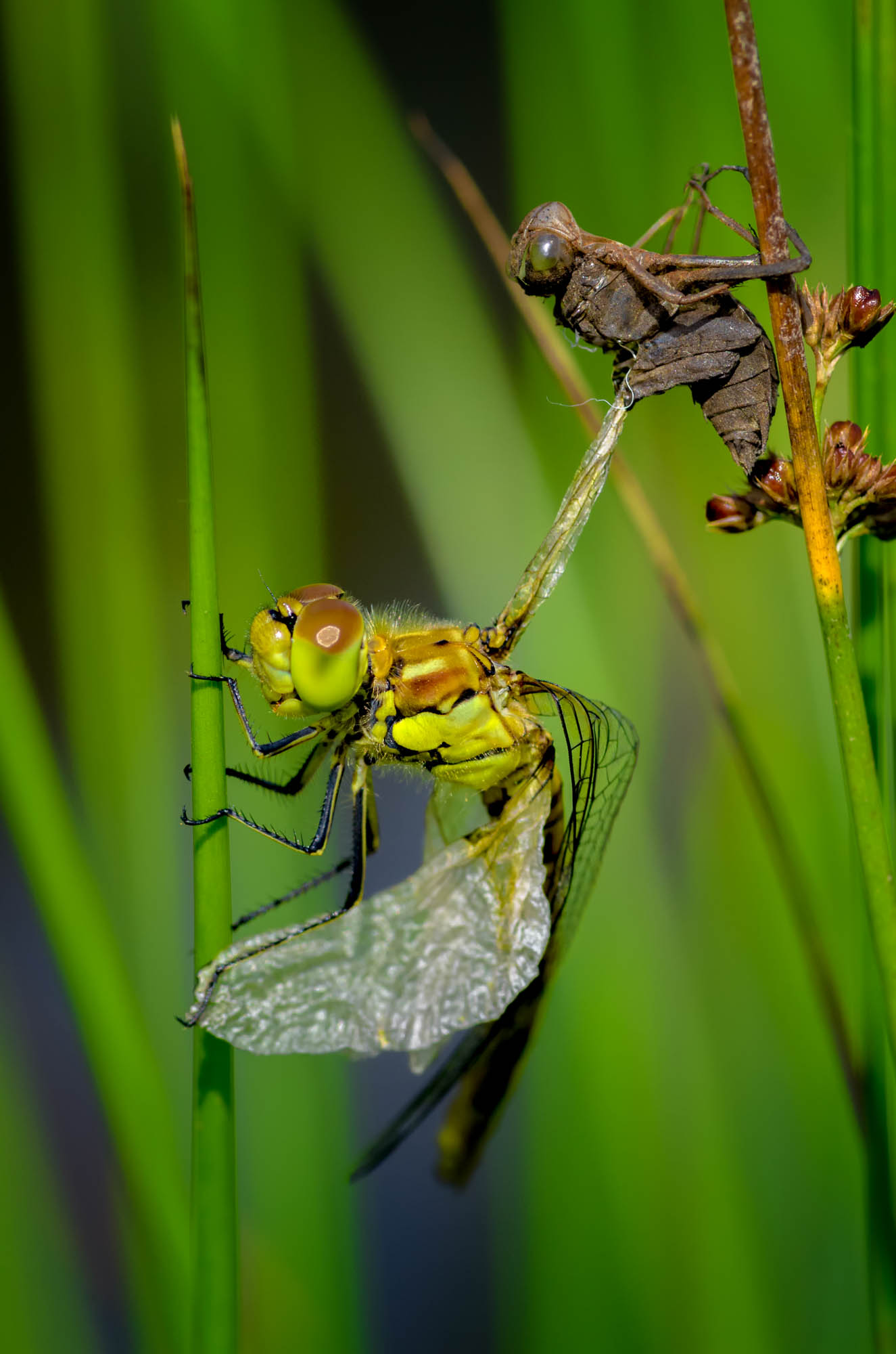 A female Common Hawker emerging from its Exuvia