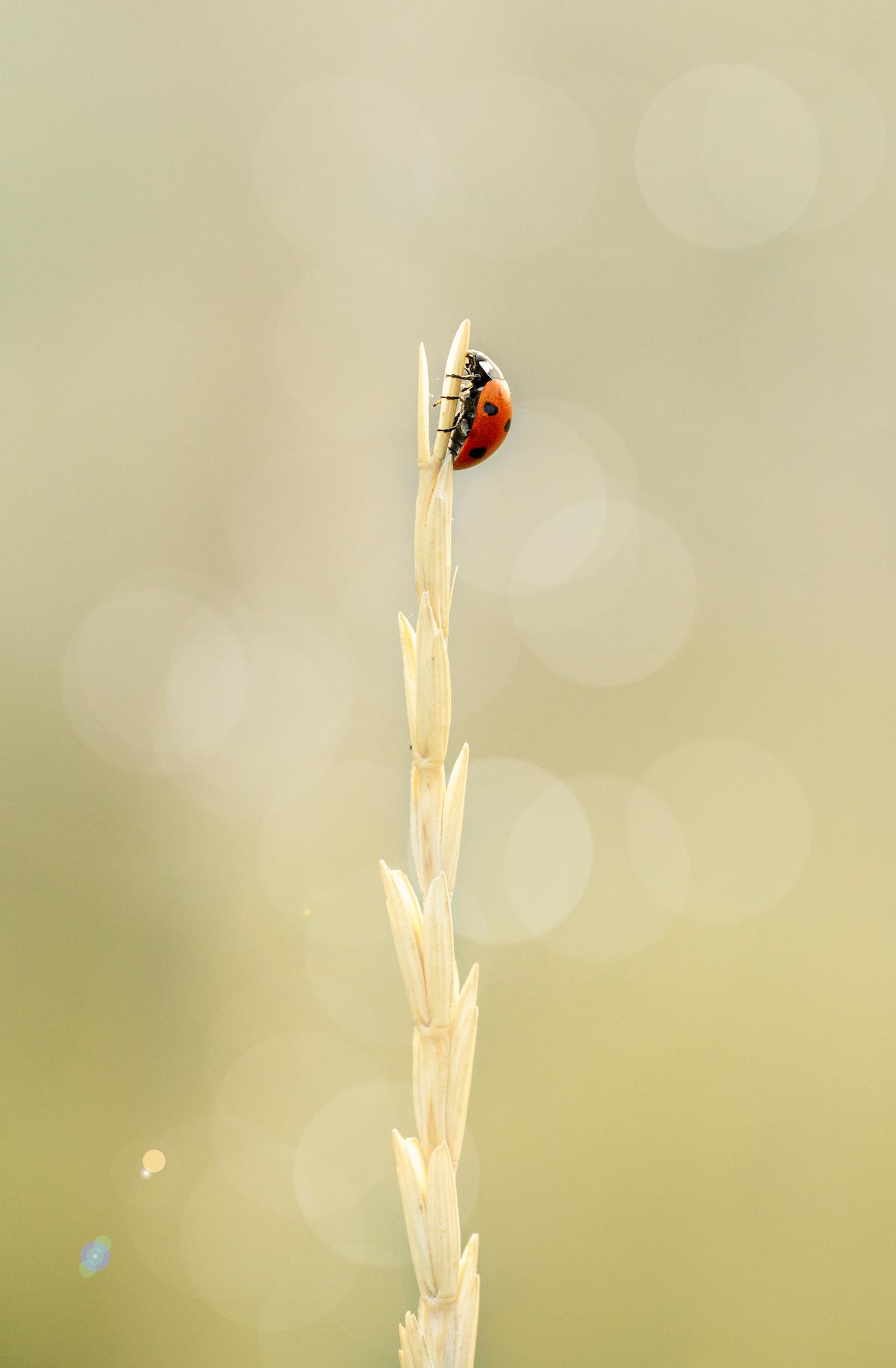 Ladybug Coccinella septempunctata resting on a dry blade of grass