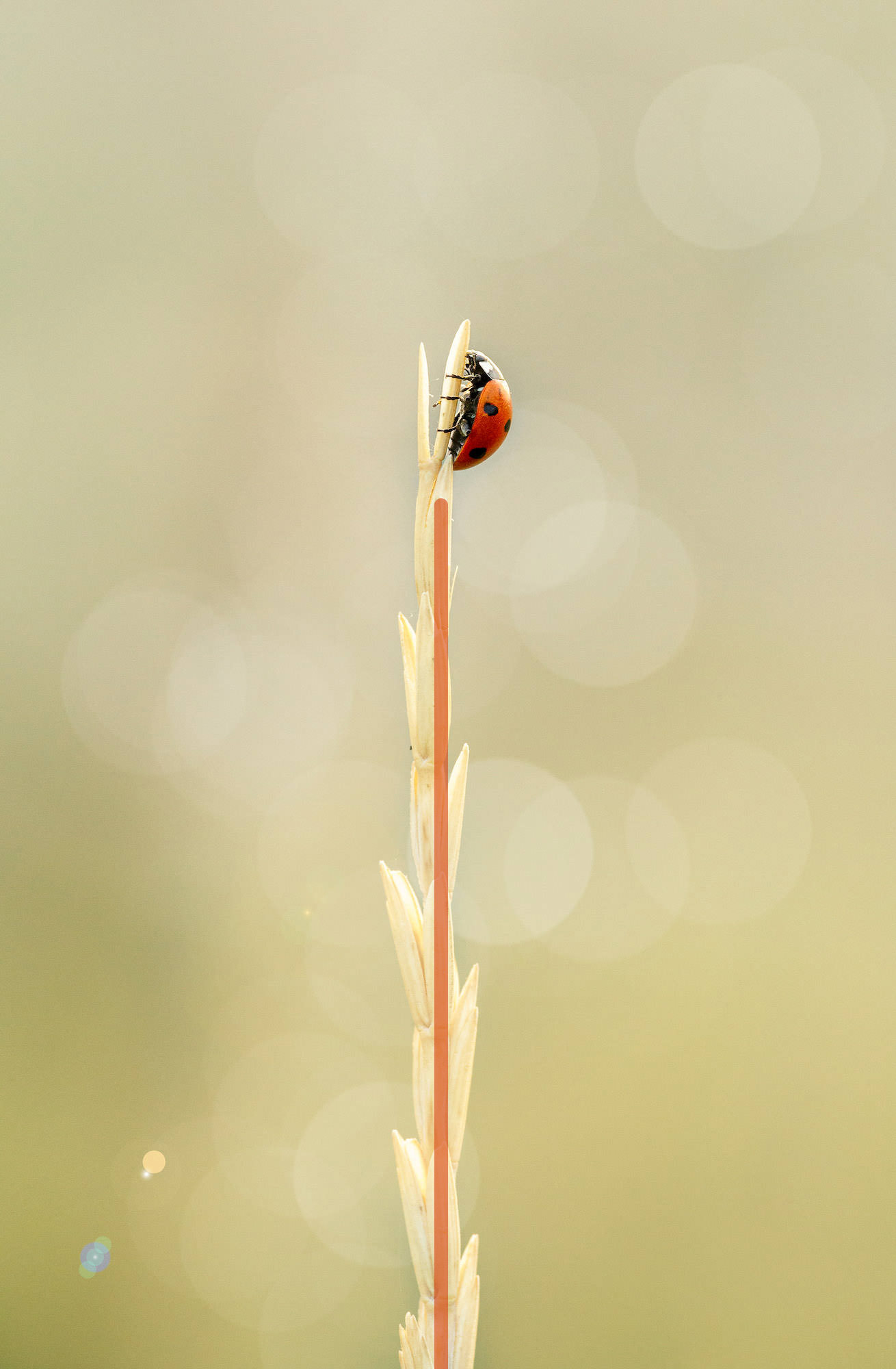 Ladybug Coccinella septempunctata resting on a dry blade of grass with an added leading line to show the compositional tecnhique