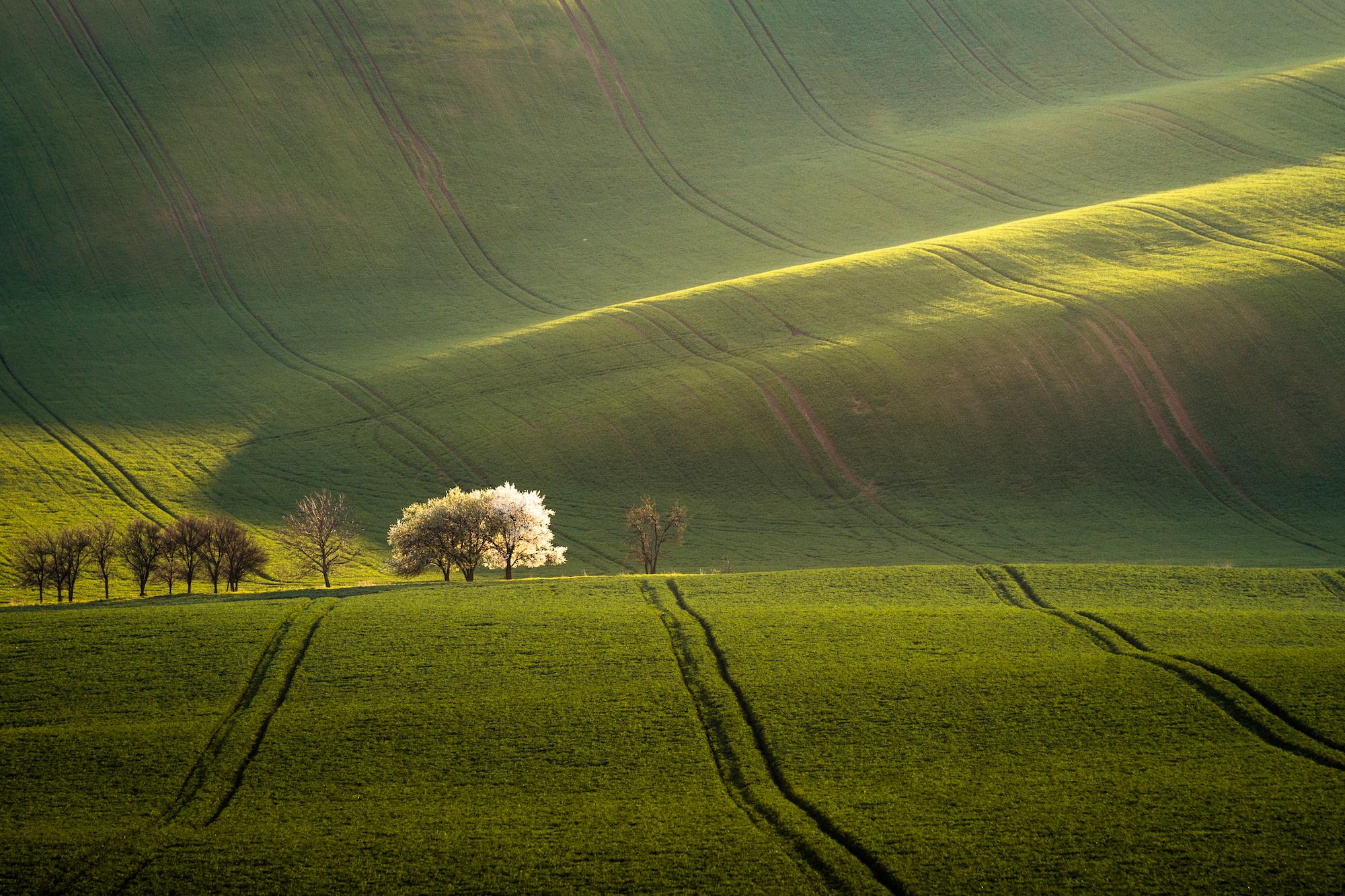 Minimalist landscape of blooming fruit trees among the fields in Moravia, Czech Republic