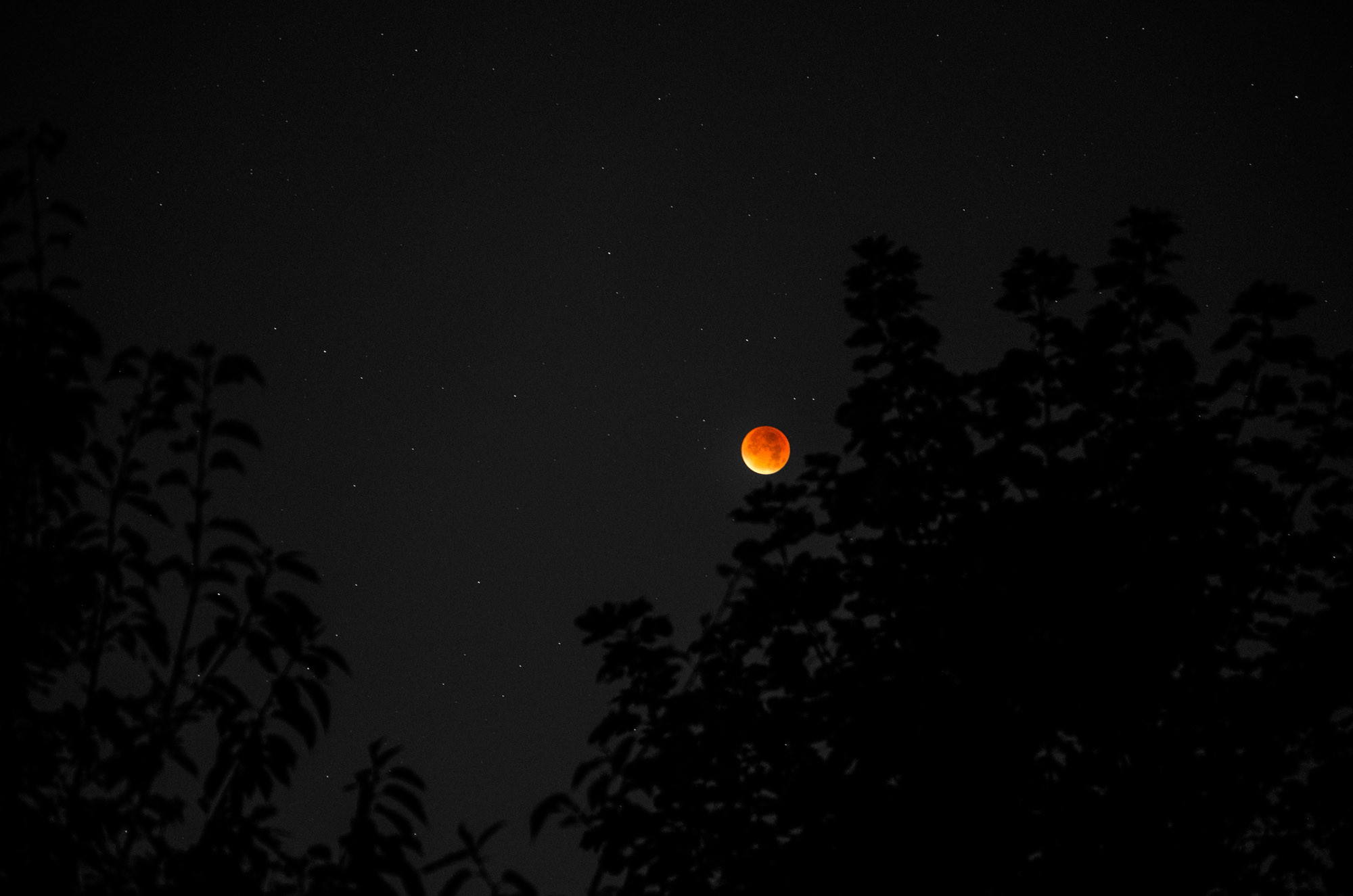 The blood moon with foliage in the foreground