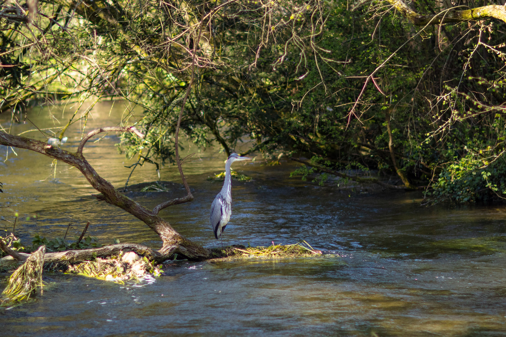 A heron standing at the side of the river
