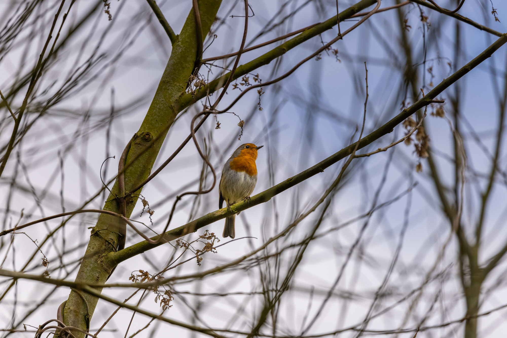 Robin perched on a branch in winter