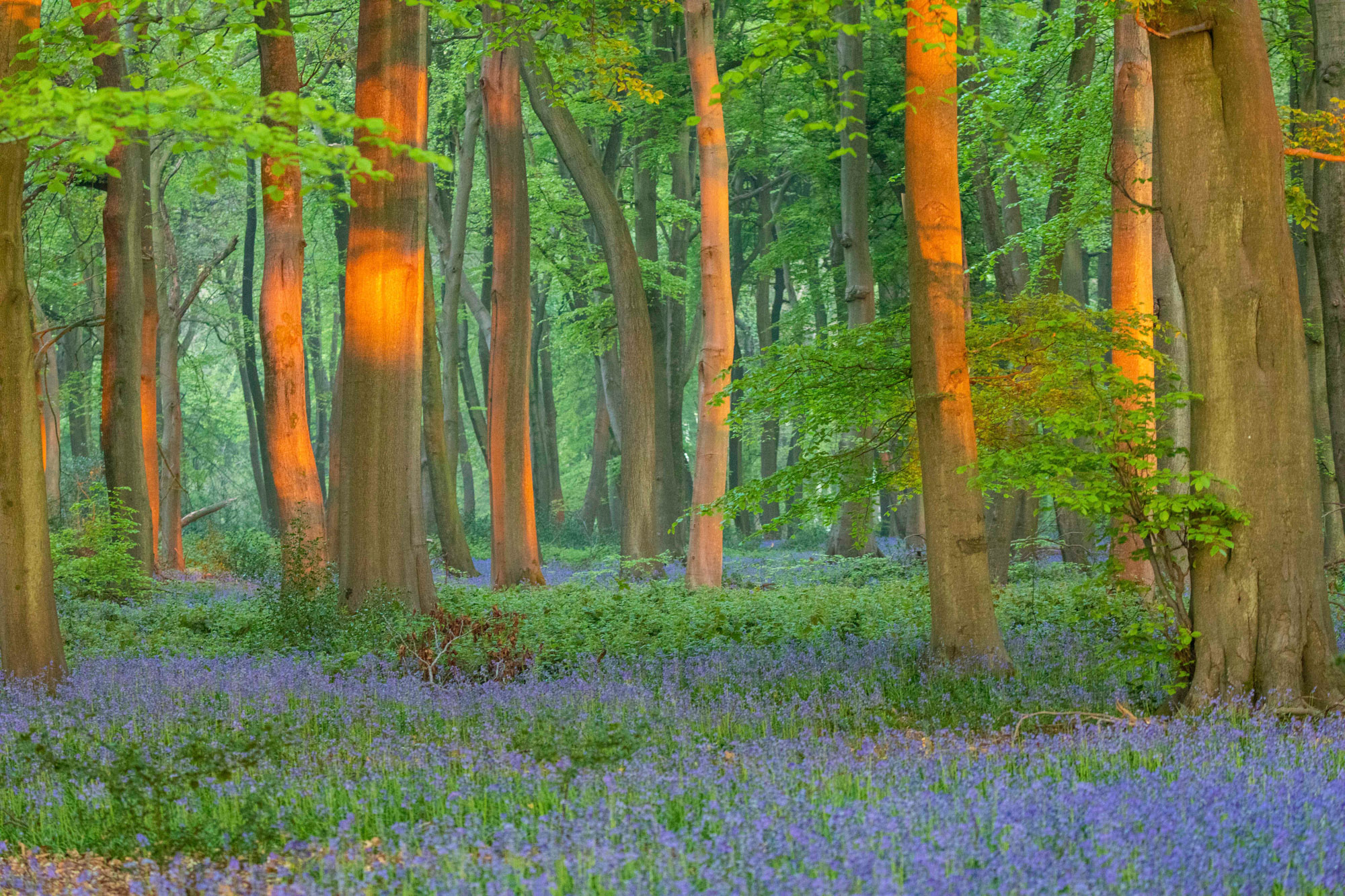 Bluebells in the forest in the Spring