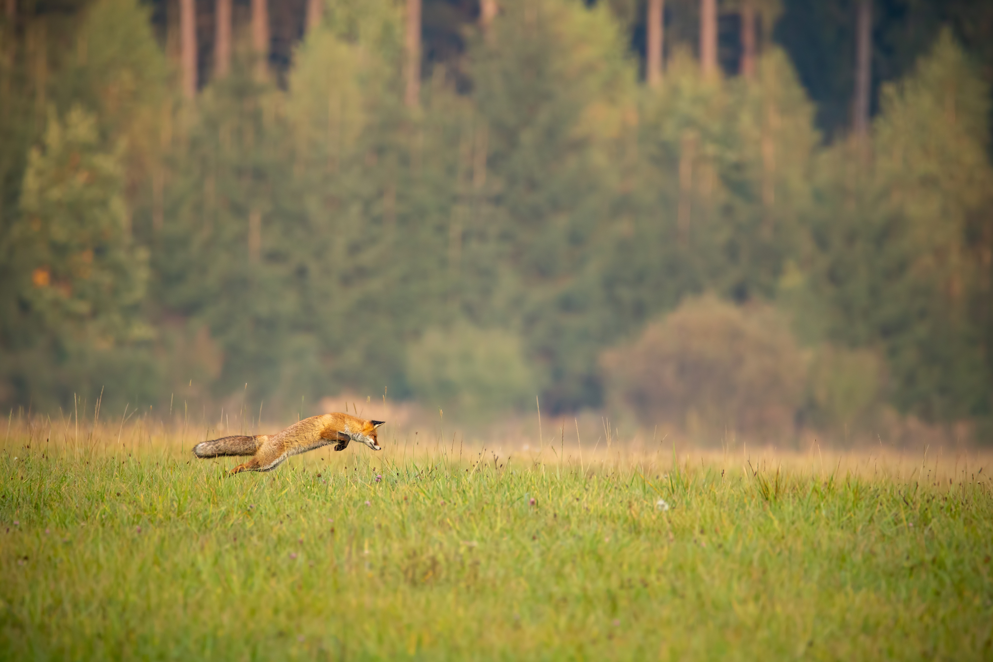 Fox jumping through a meadow in autumnal woodland