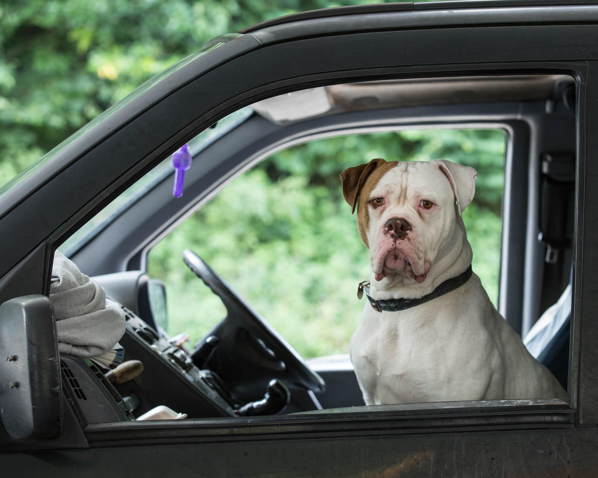 Boxer dog in a Boxer car