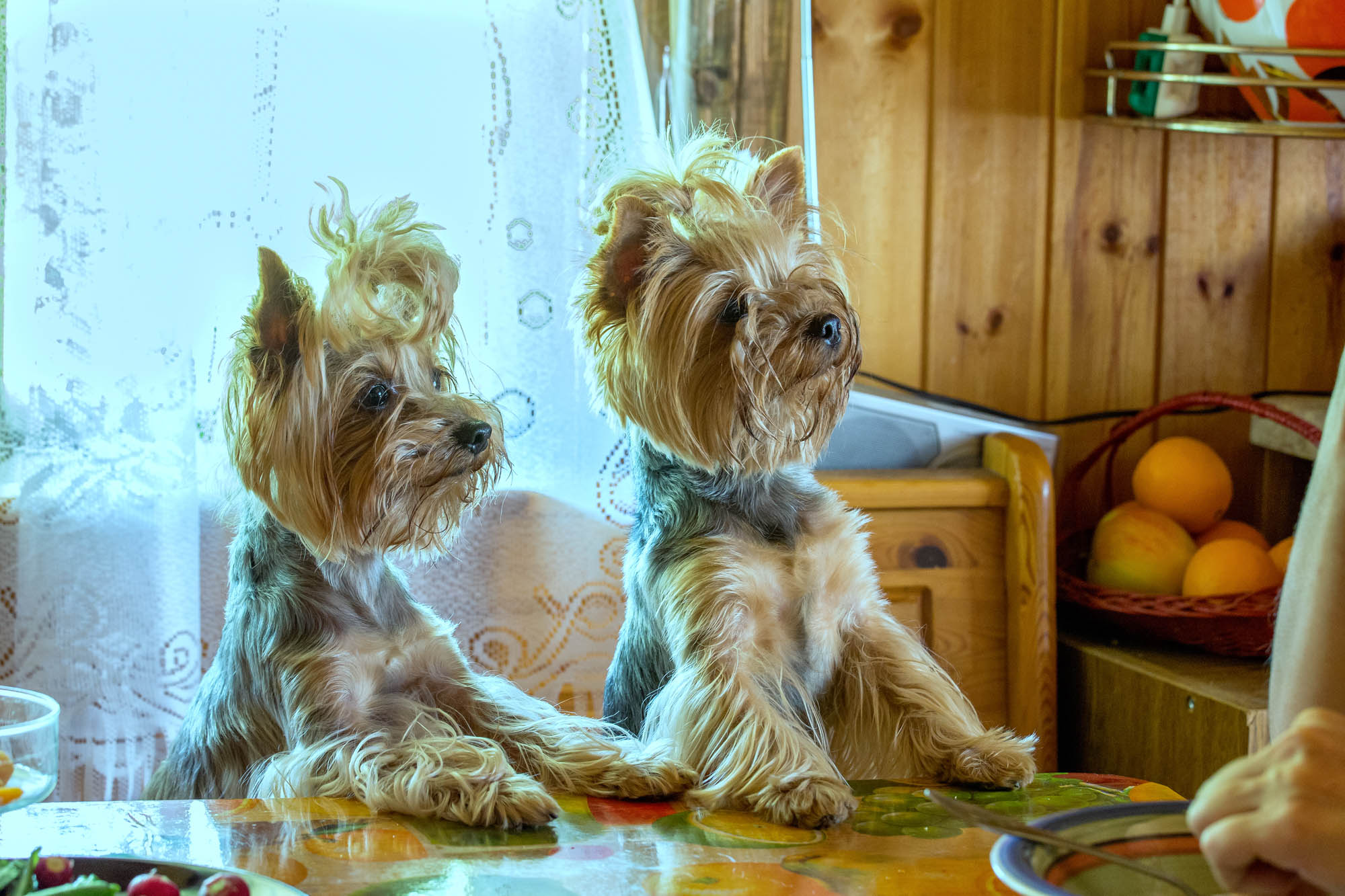 A pair of Yorkshire terriers