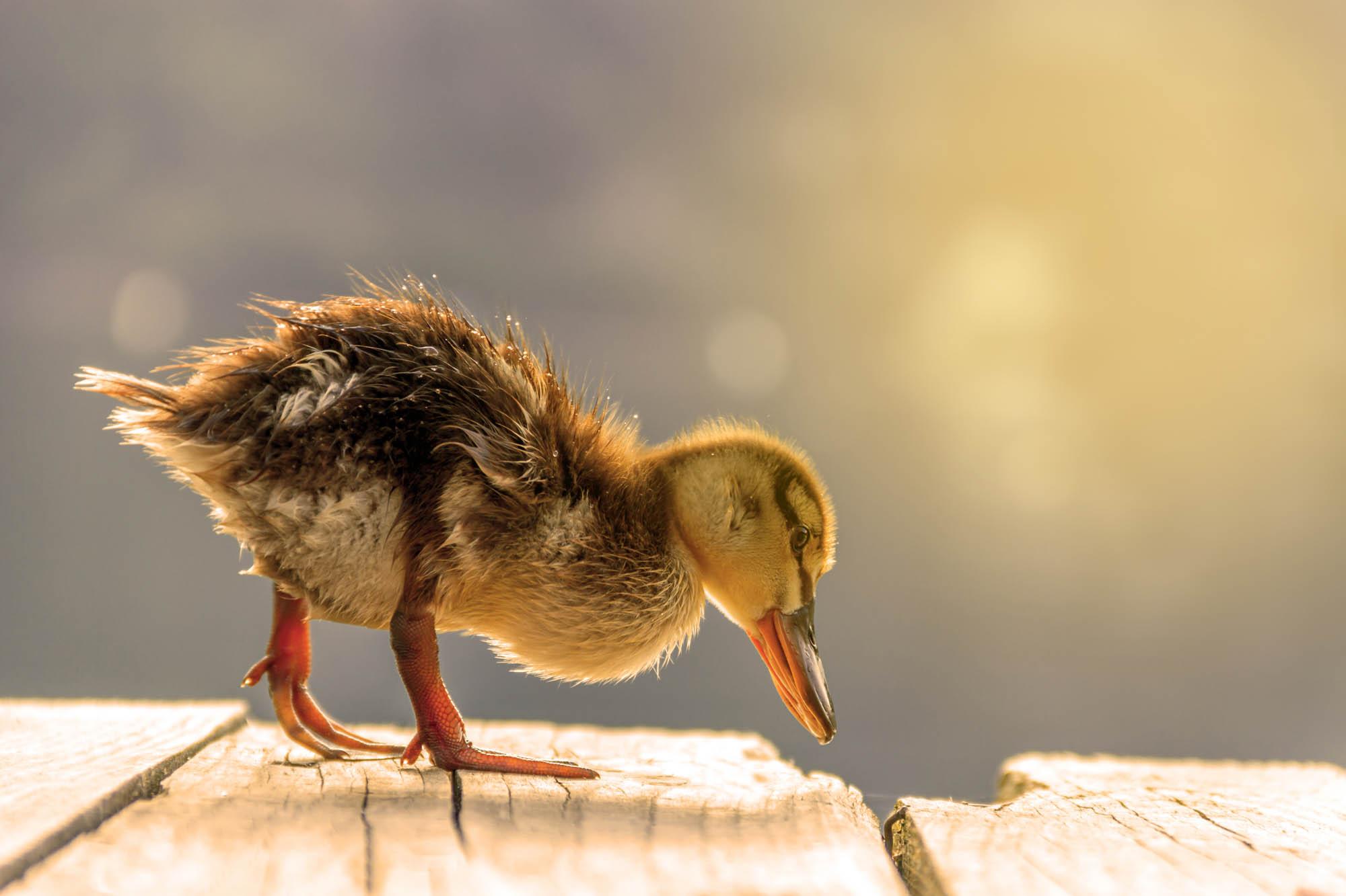 A cute duckling at sunrise