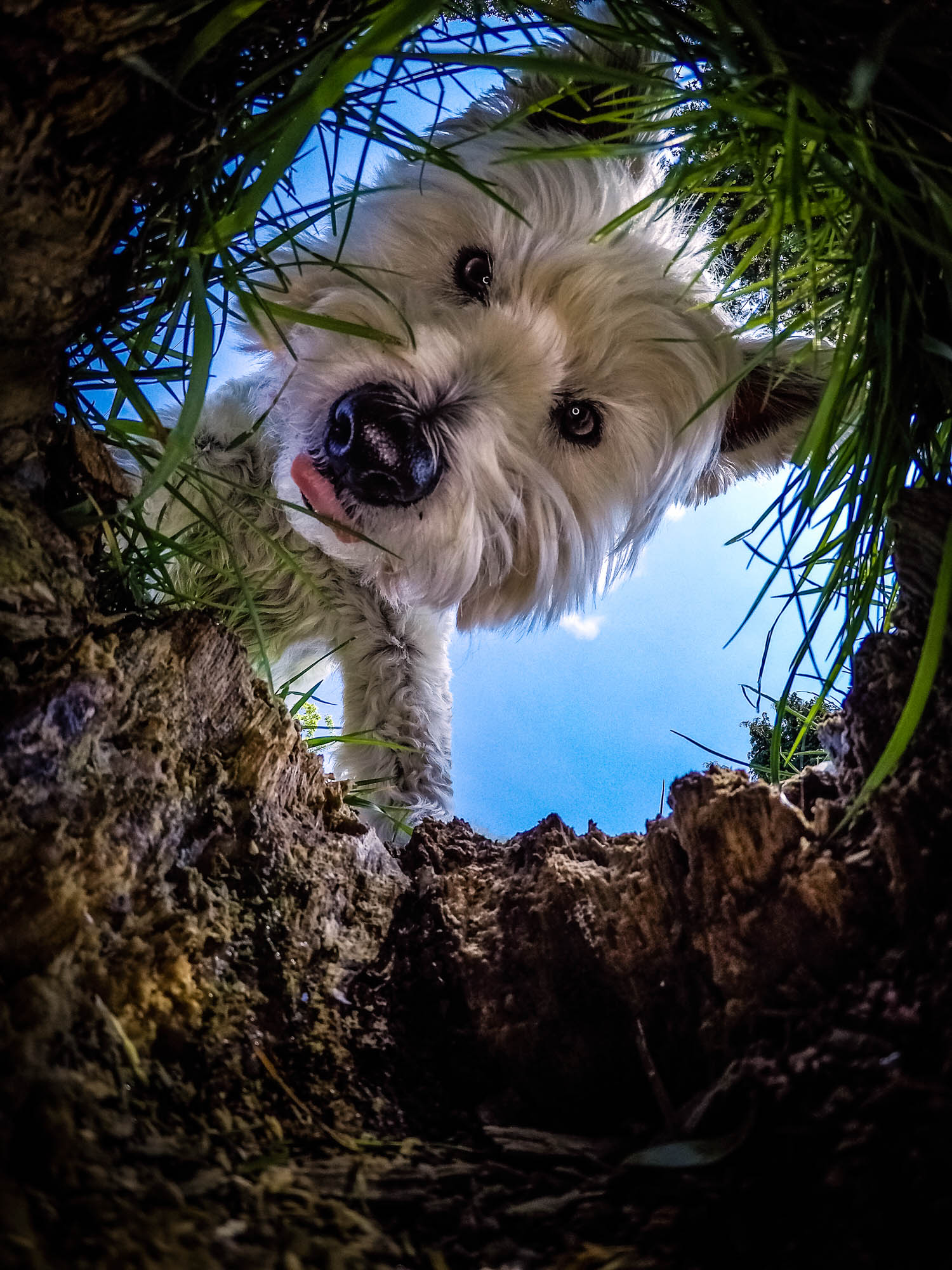 A West Highland White Terrier dog peers into a rabbit hole