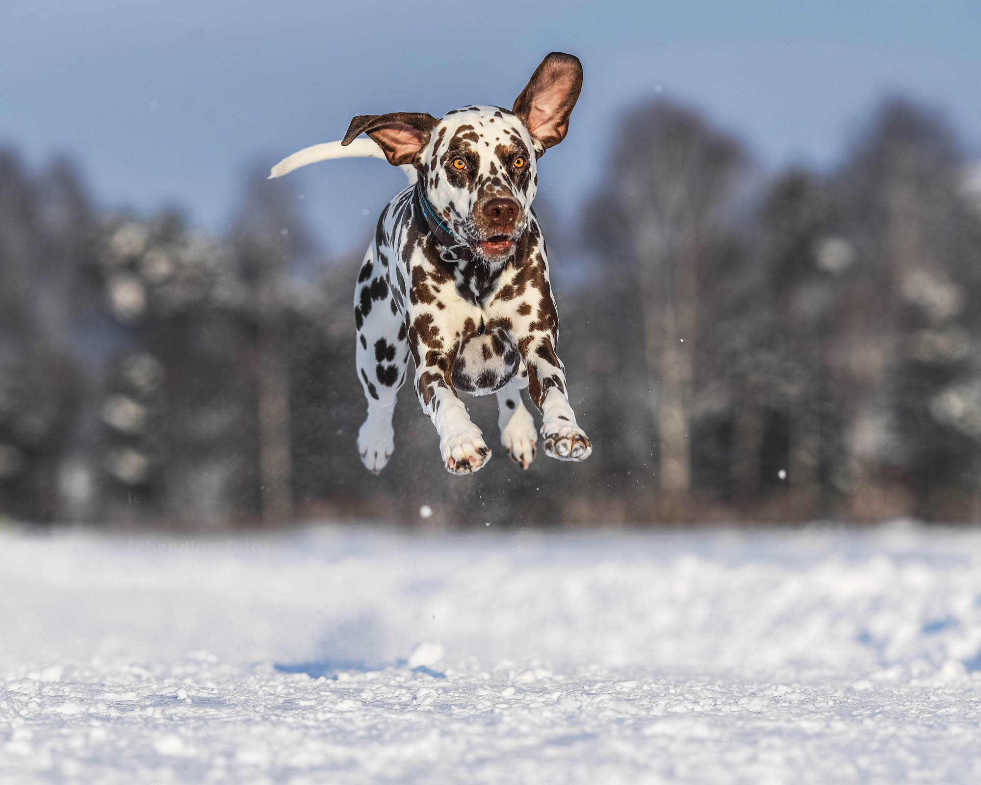 A Dalmatian dog jumping in the snow