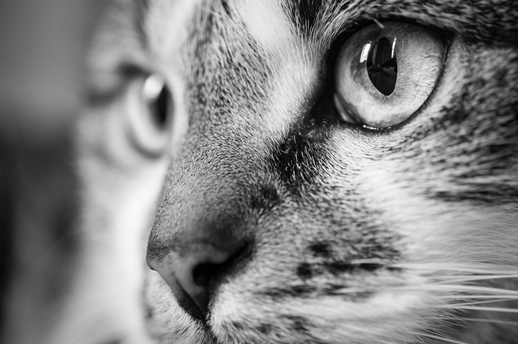 Close up image of the cat taken with an XF 60mm