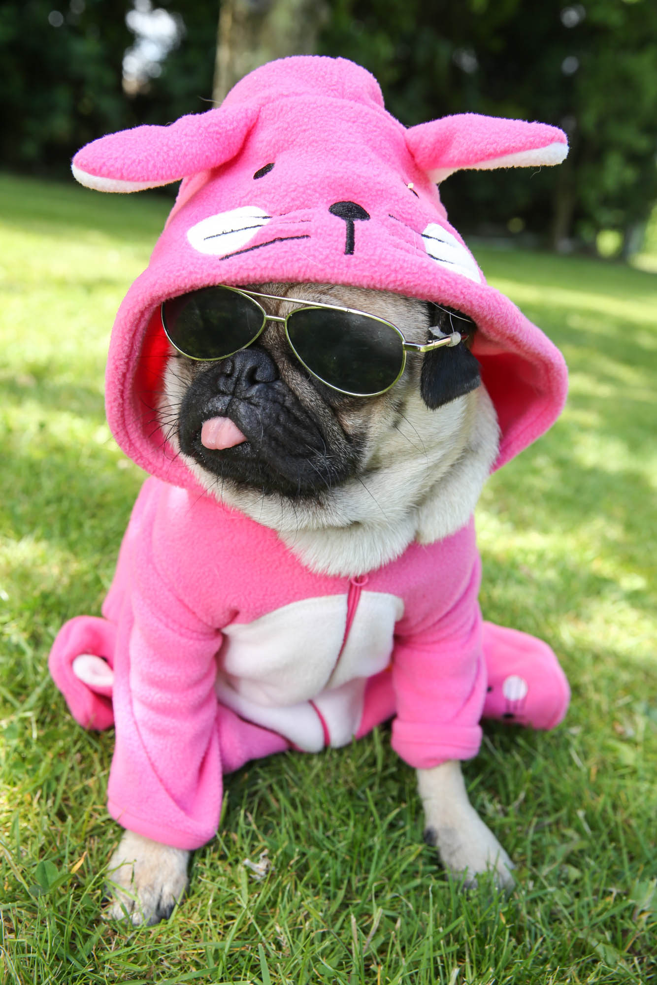 A dressed up pug with its tongue stuck out