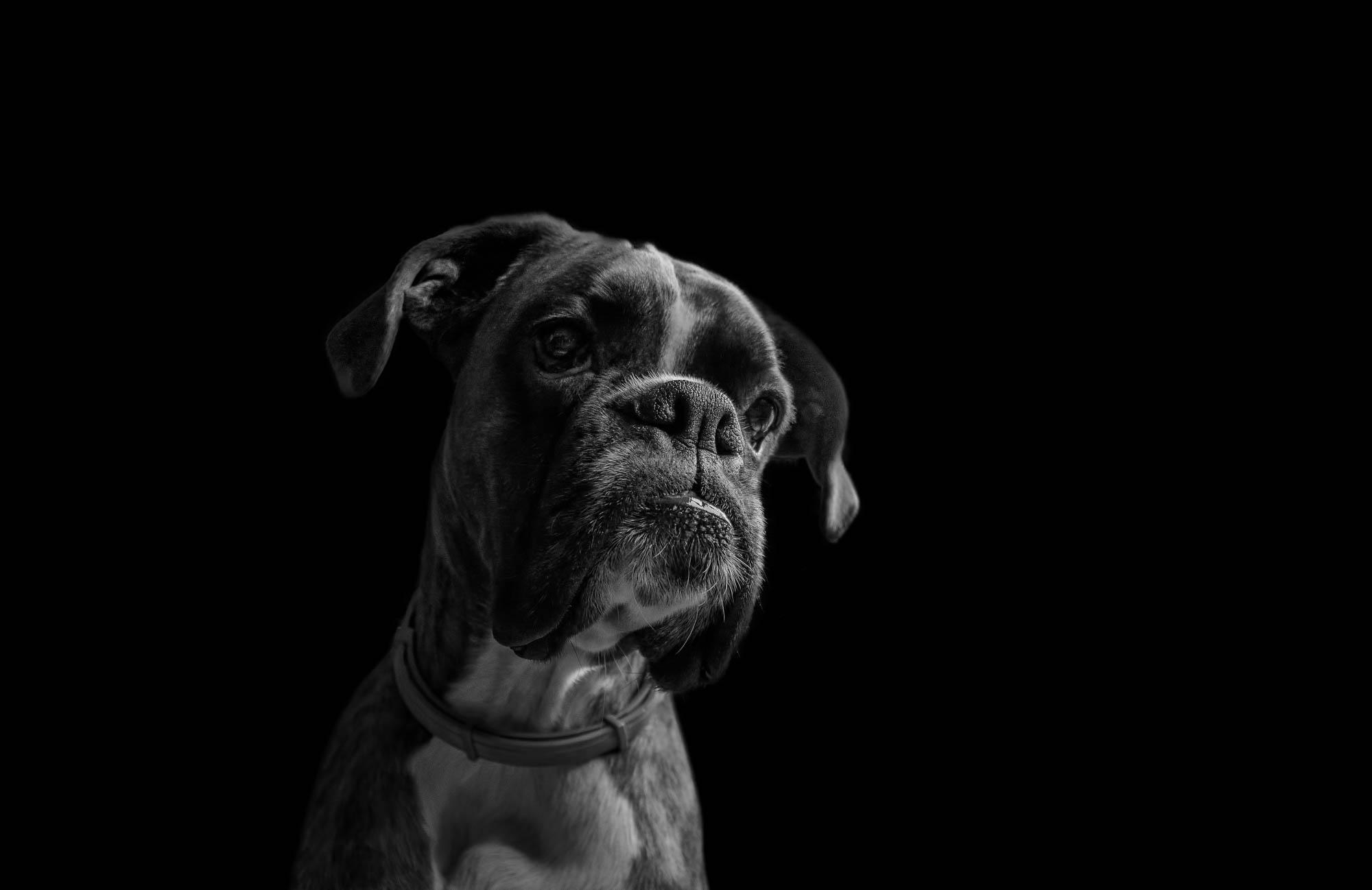 Boxer dog portrait in black and white
