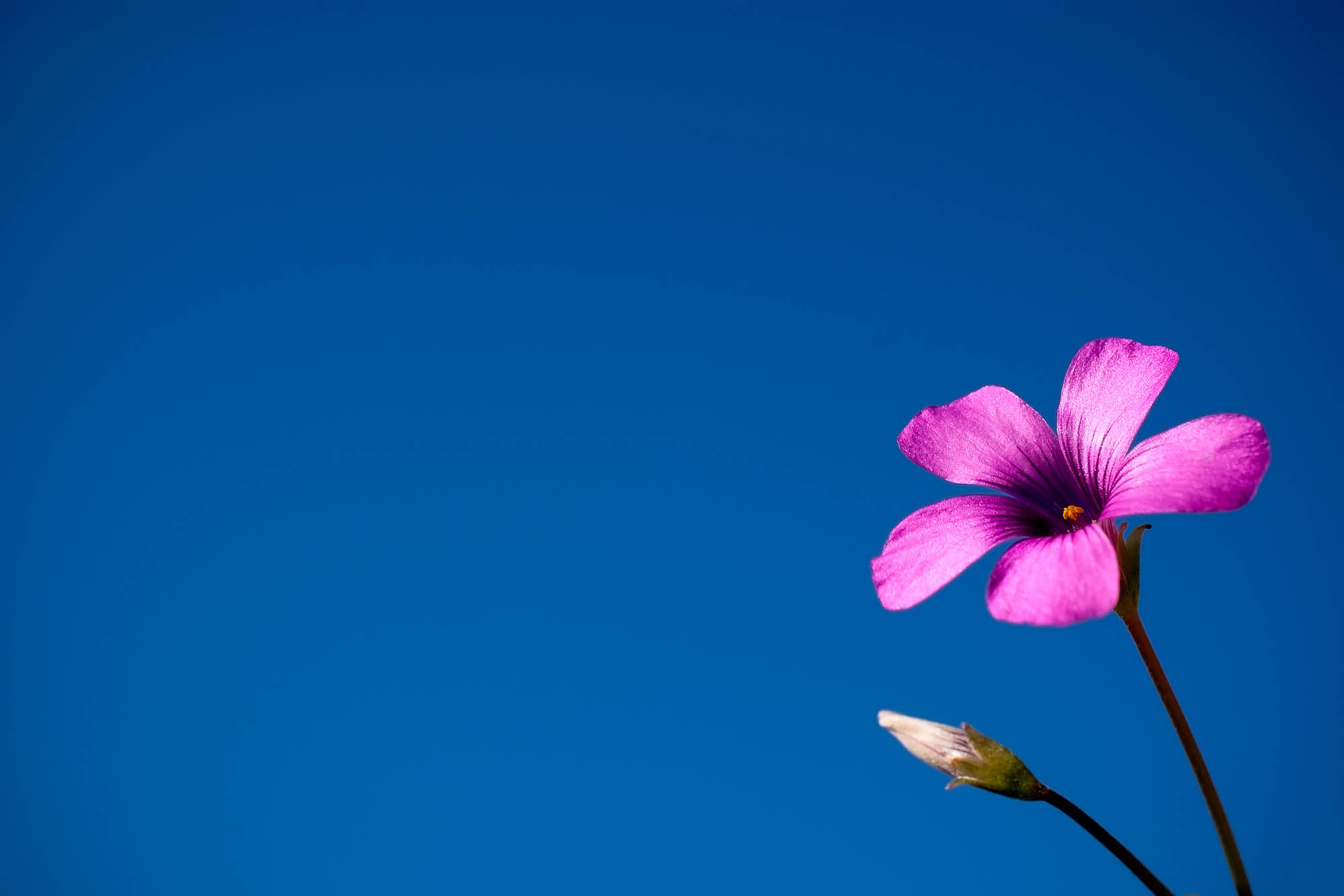 A purple flower against a clear blue sky in the summer
