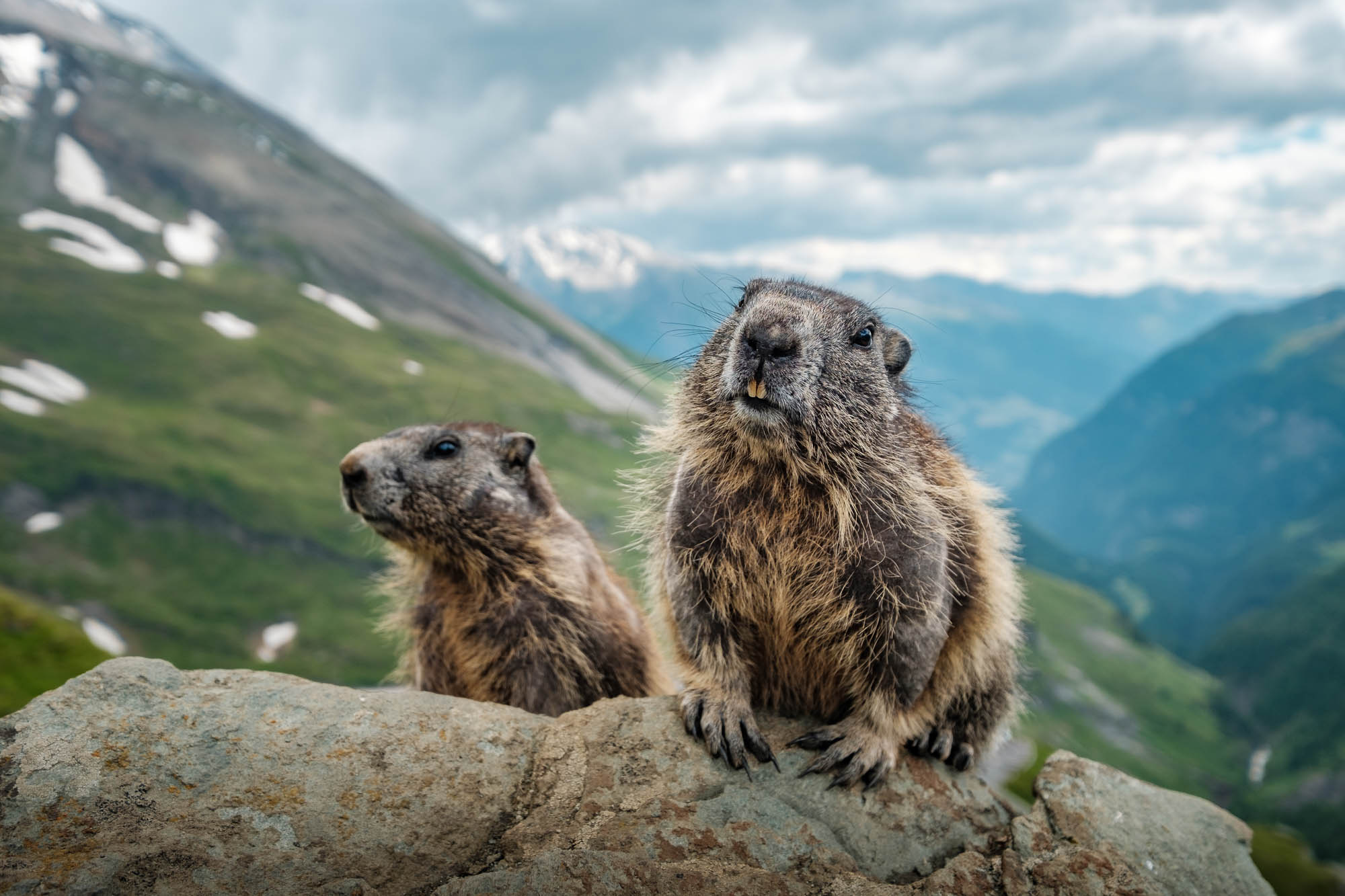 Marmots photographed with a wide angle lens near Grossglockner in Austria.