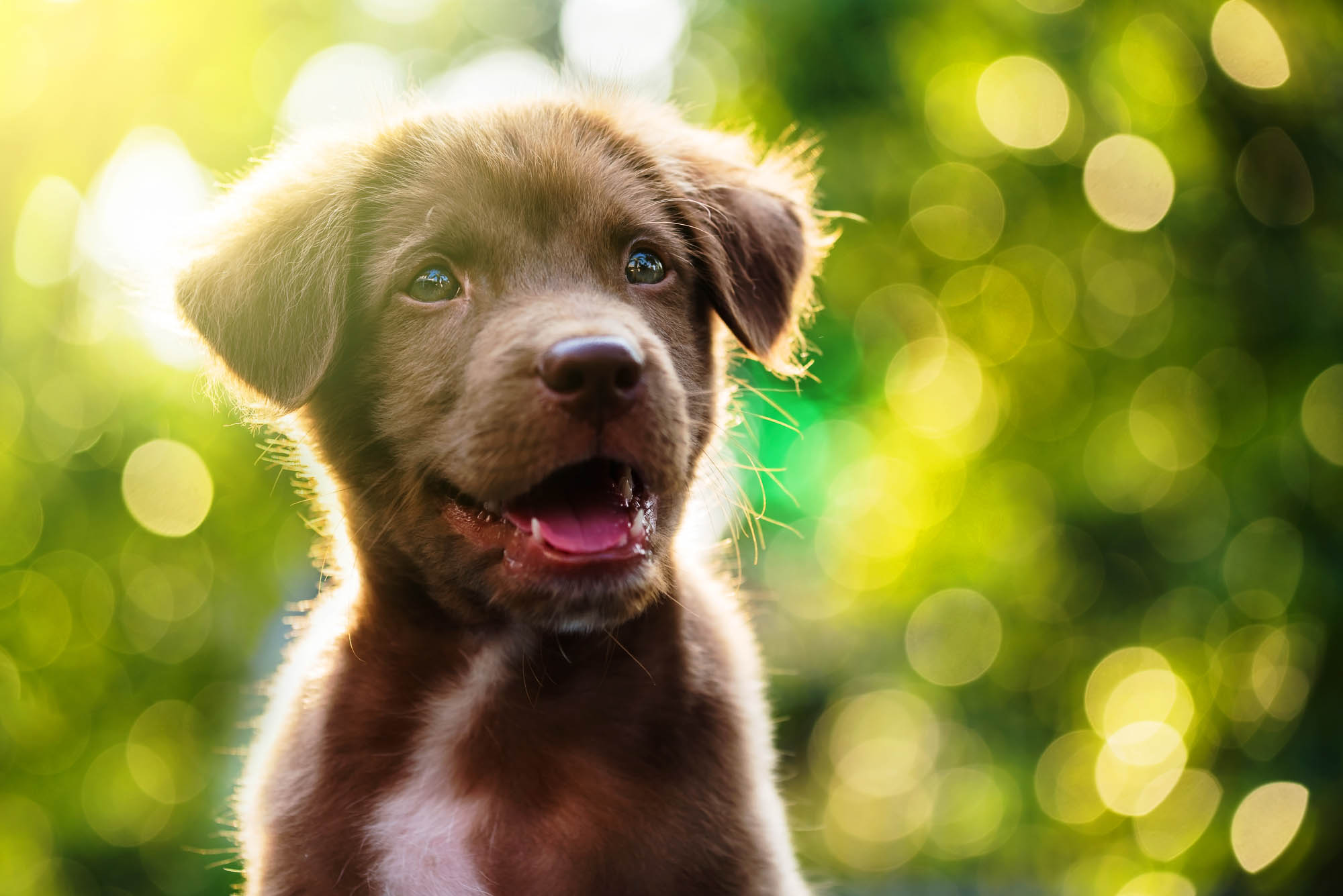 Adorable Labrador puppy dog portrait with light bokeh abstract background