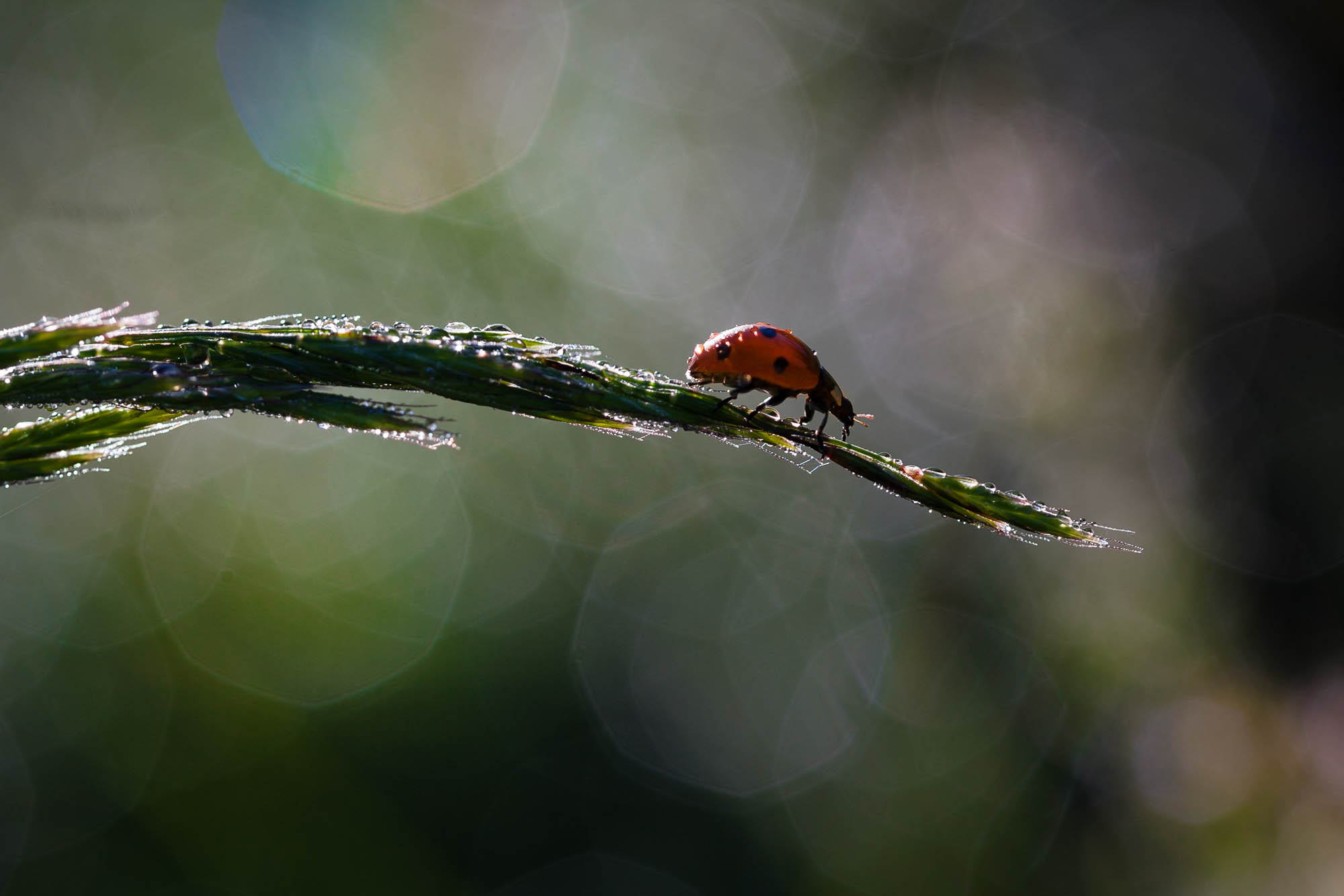 Ladybug and morning dew with bokeh background blur