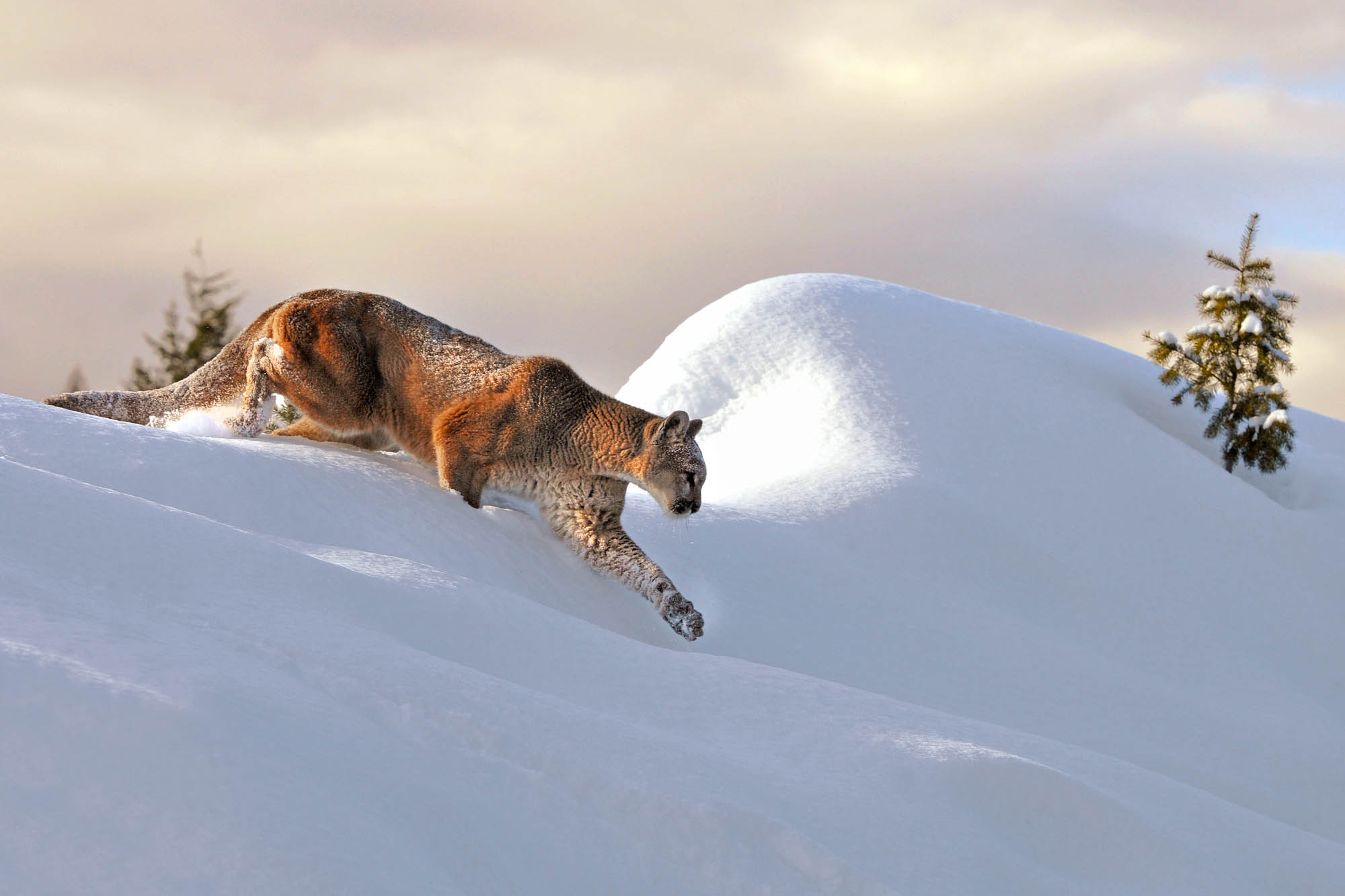 Mountain Lion cresting ridge in the winter captured with a telephoto lens