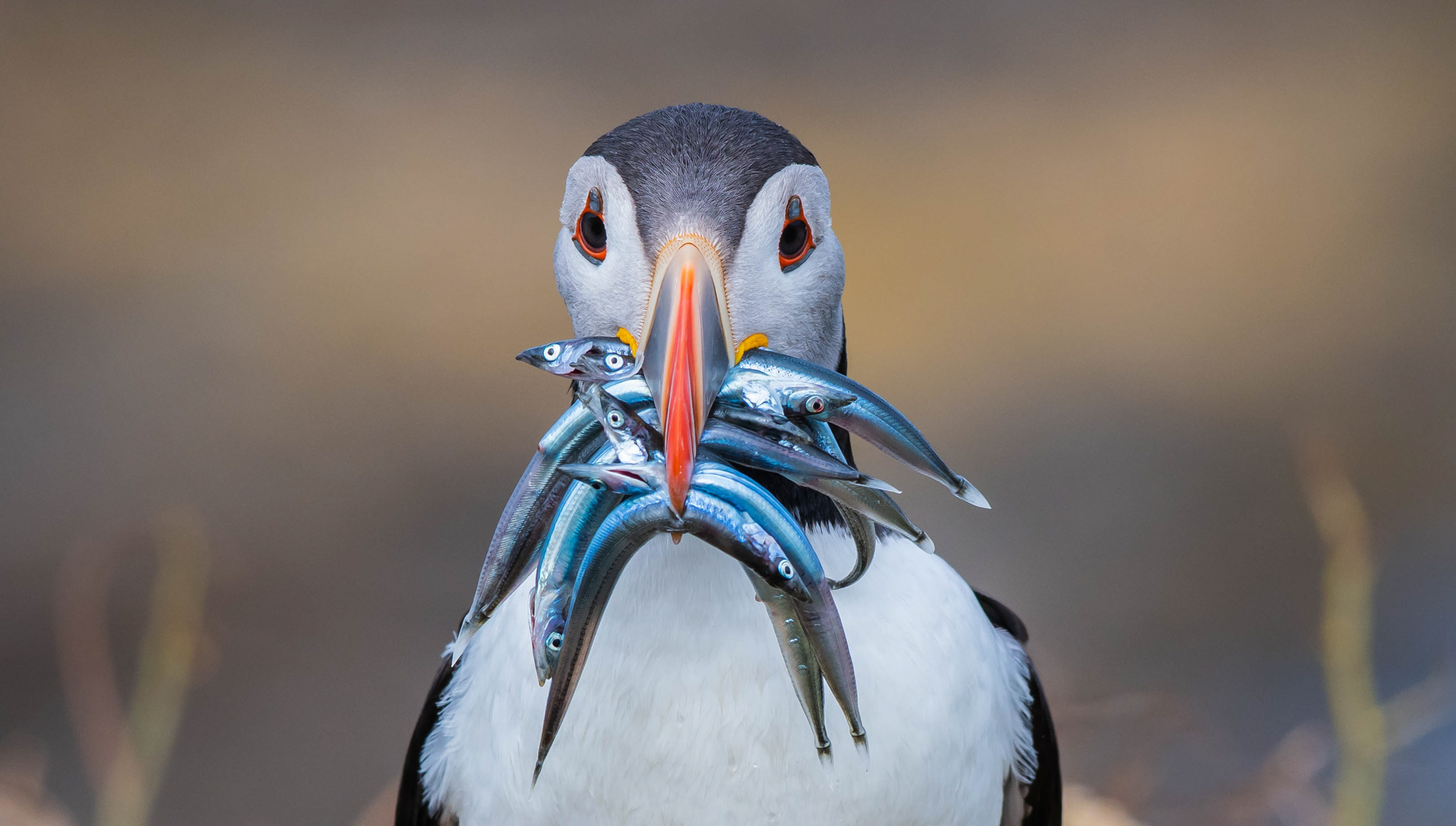 Zoomed in portrait view of a puffin.