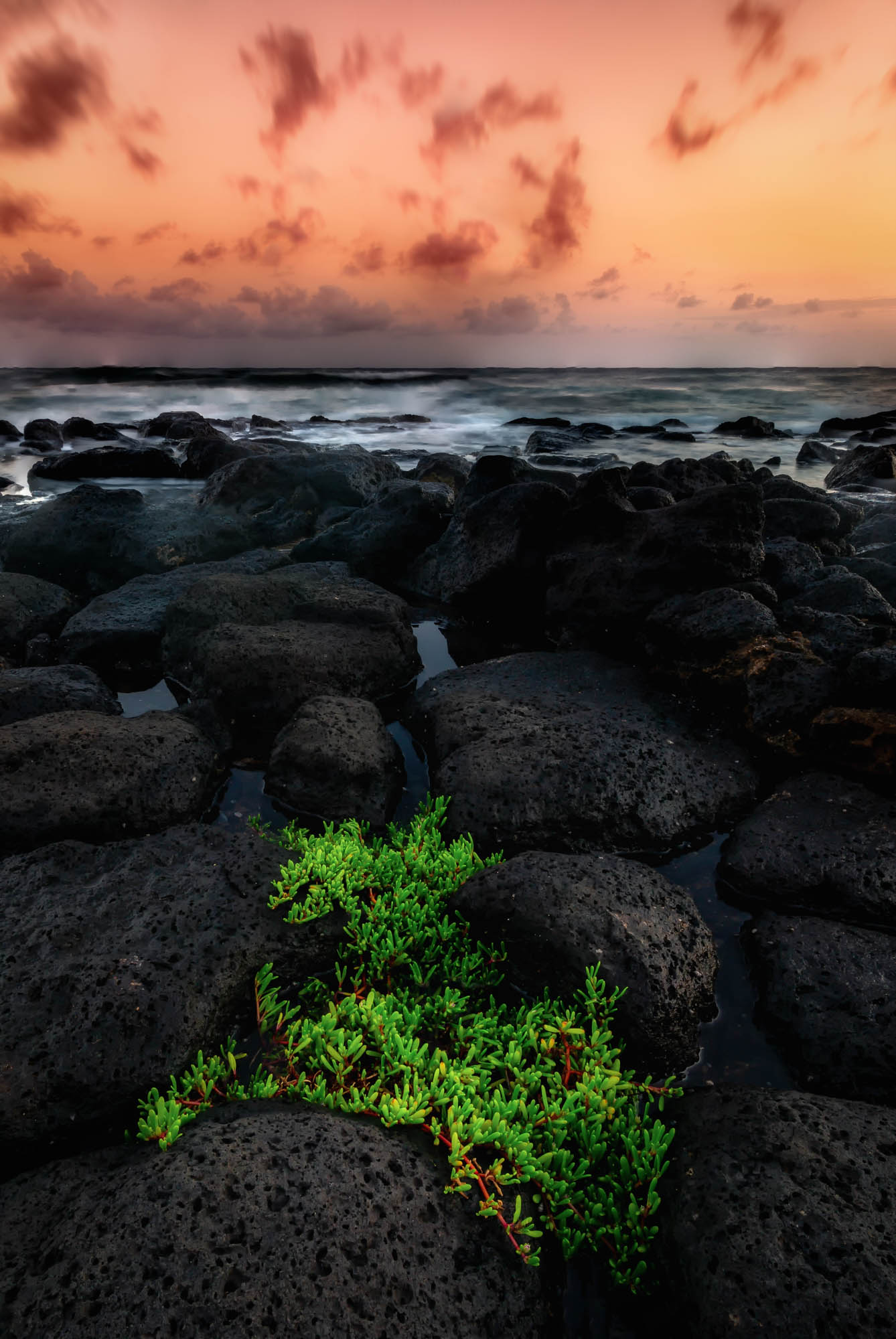 A plant grows in lava rocks under a dramatic sunset looking over the Pacific Ocean. Kauai, Hawaii.