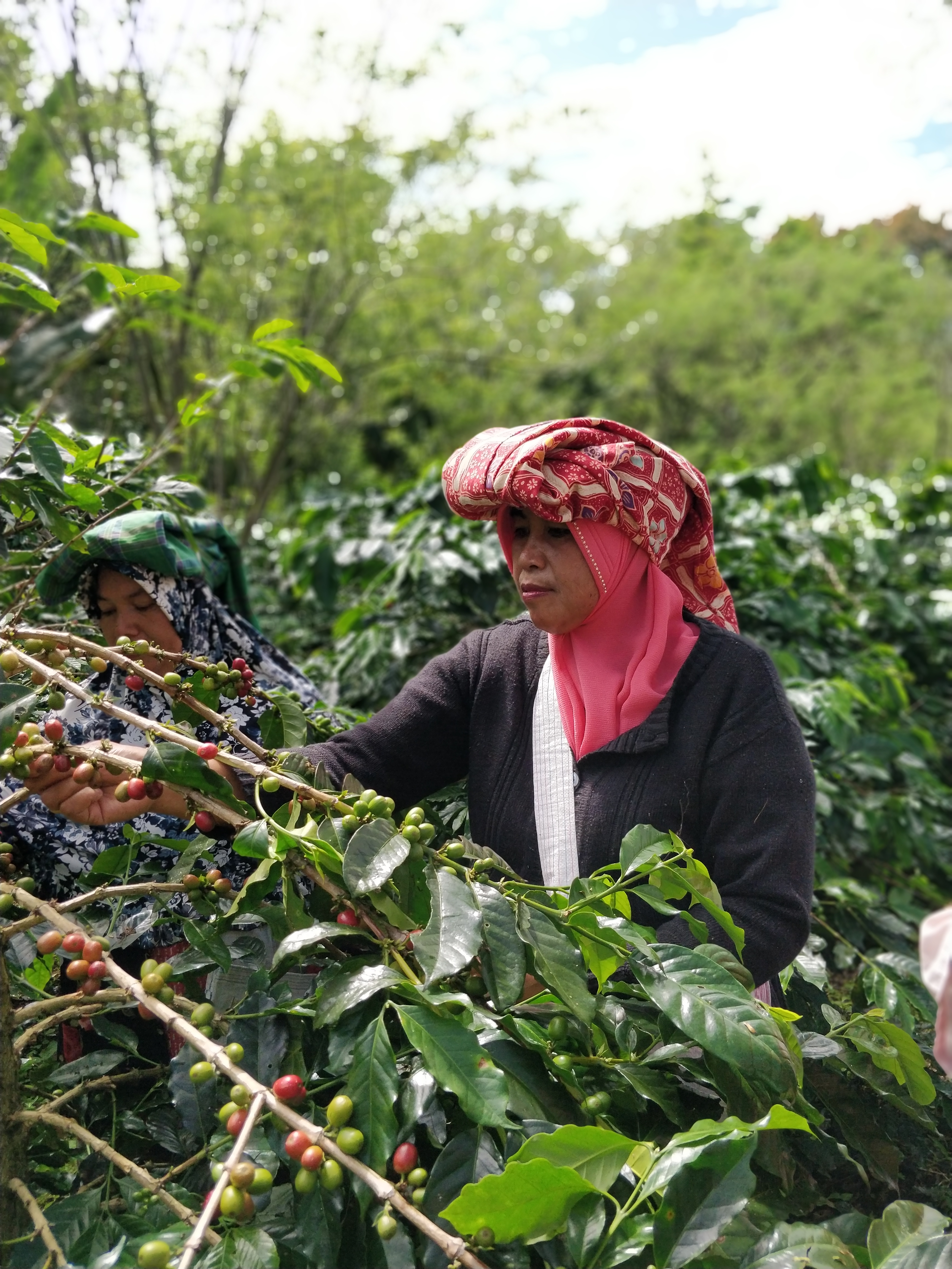 Indonesia Sumatra Coffee harvest farmers