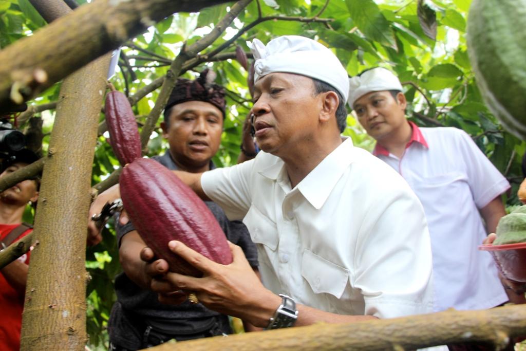 Indonesian cocoa pod