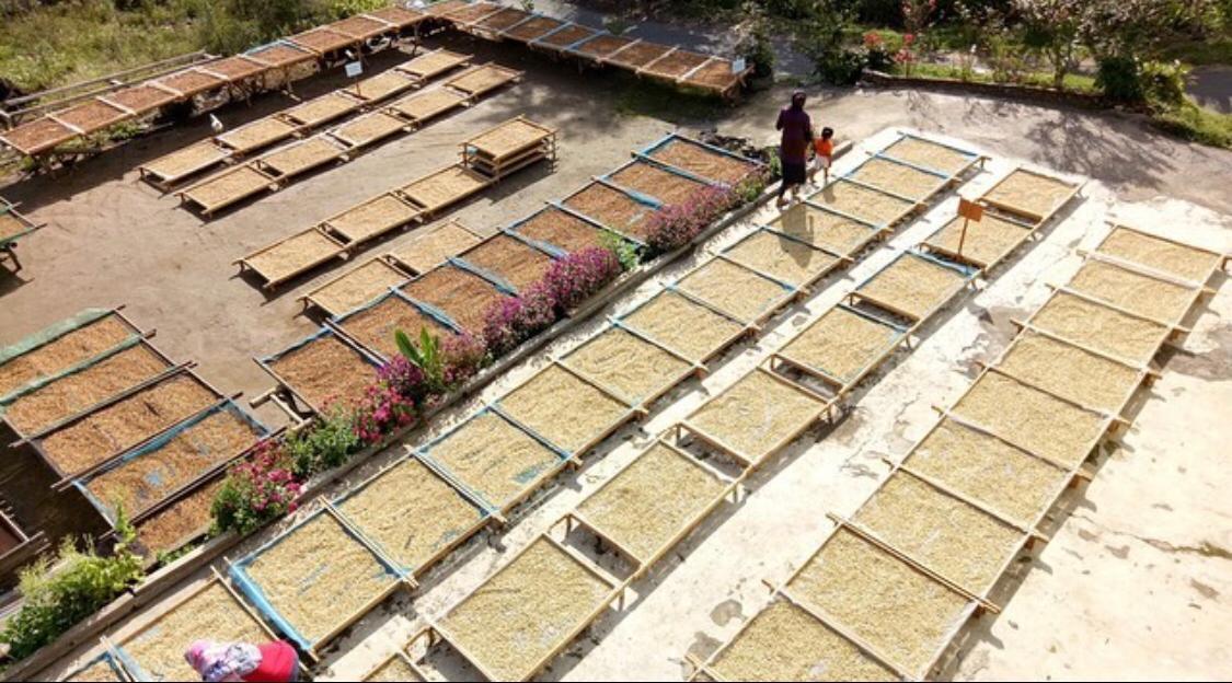 coffee drying Sumatra
