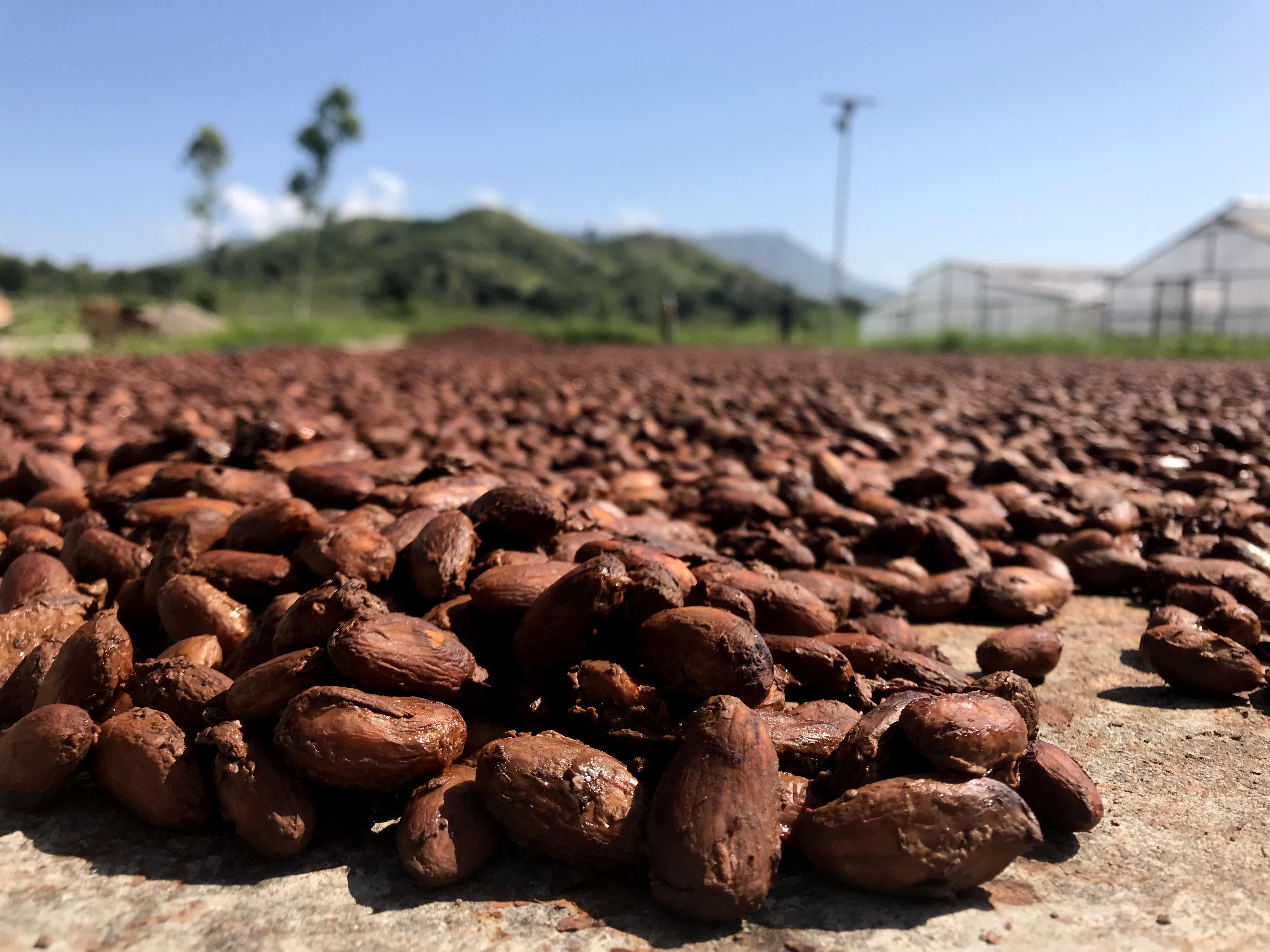 Drying cocoa beans Matahari gt