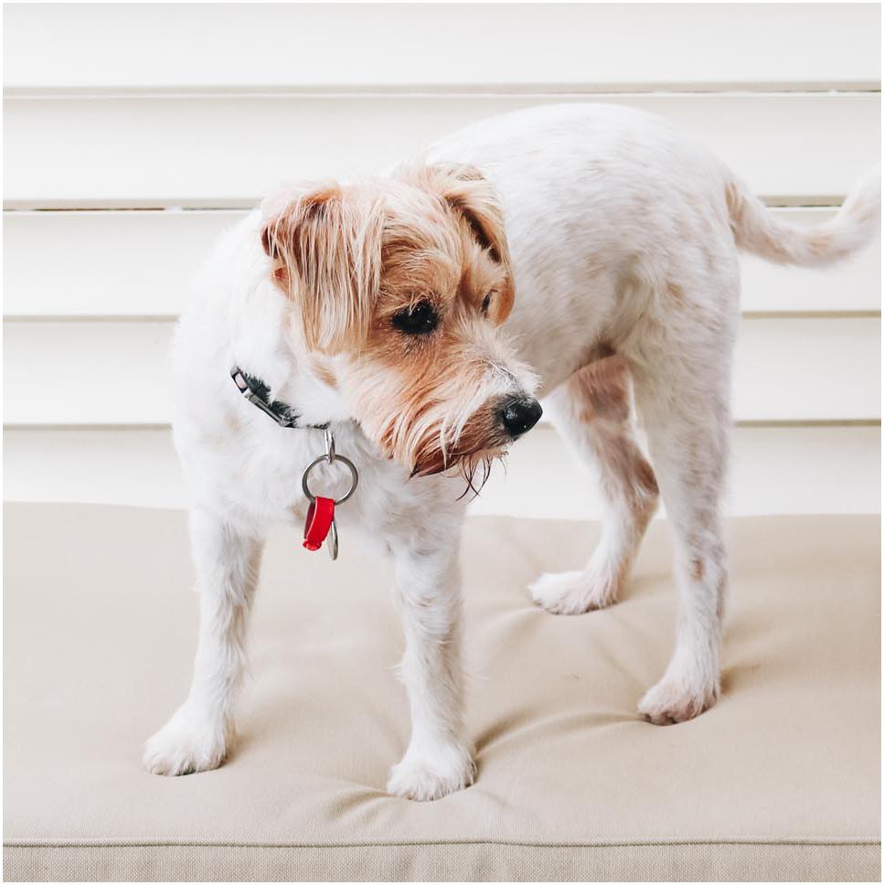Bella Jack Russell Terrier