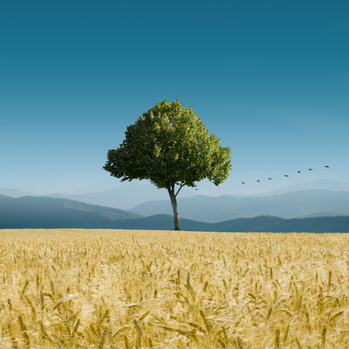 A tree in the middle of a wheat field