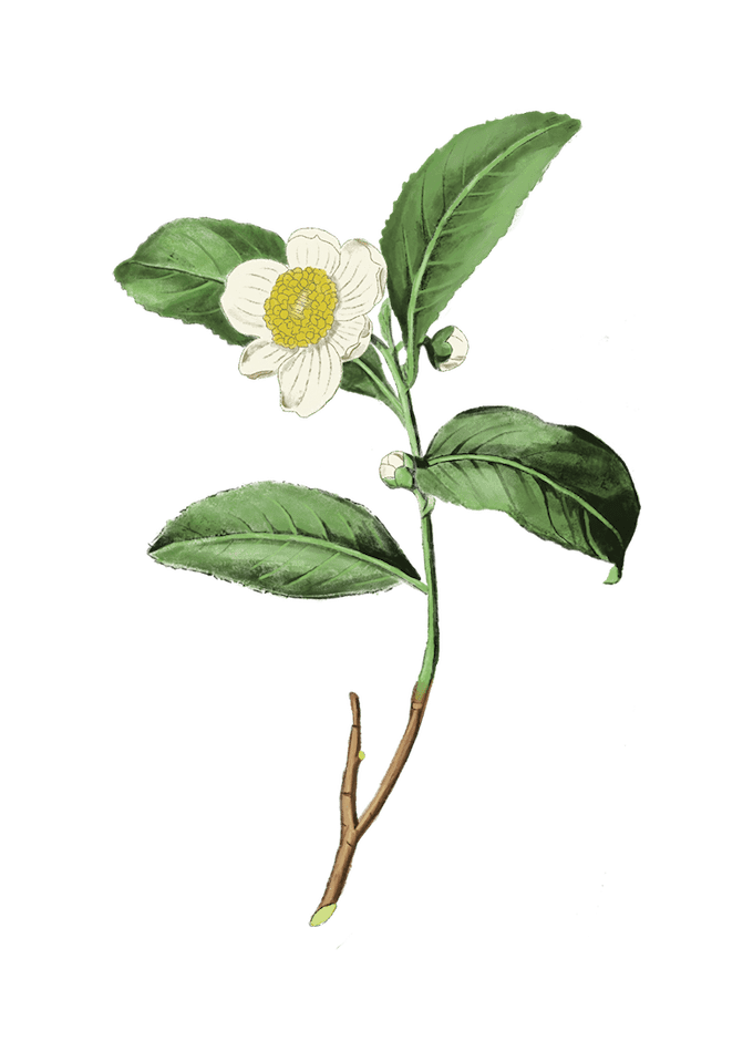 illustration of a tea plant and flower