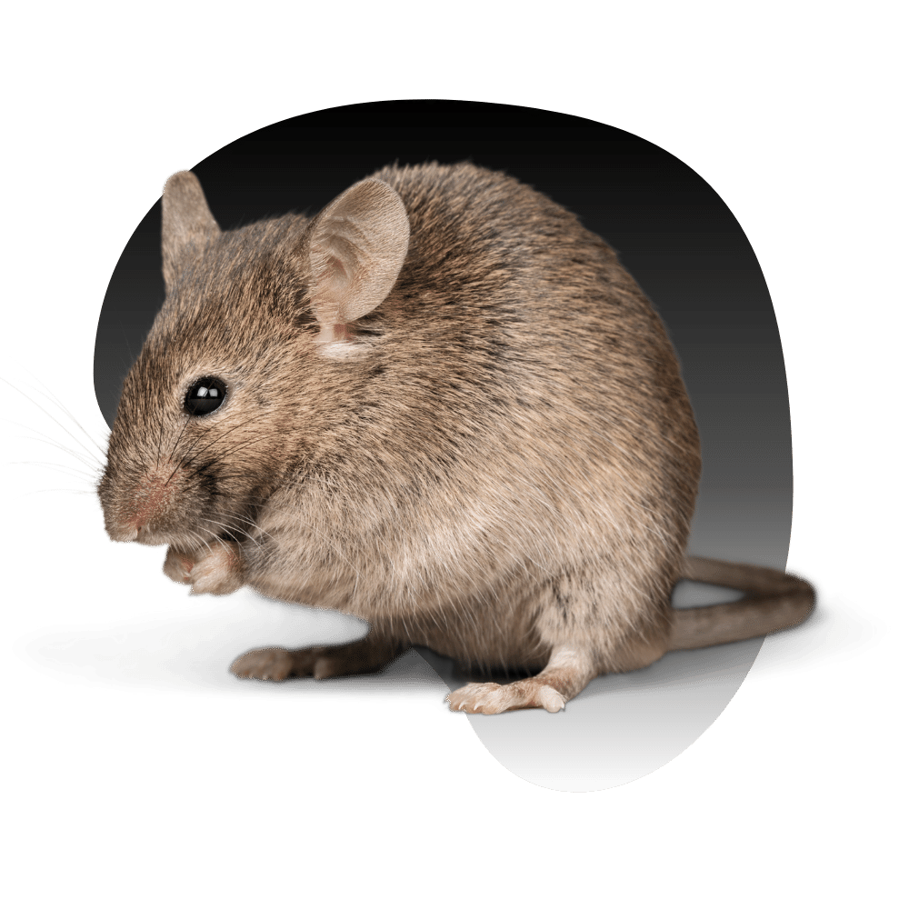 Rodents, Rats, & Mice