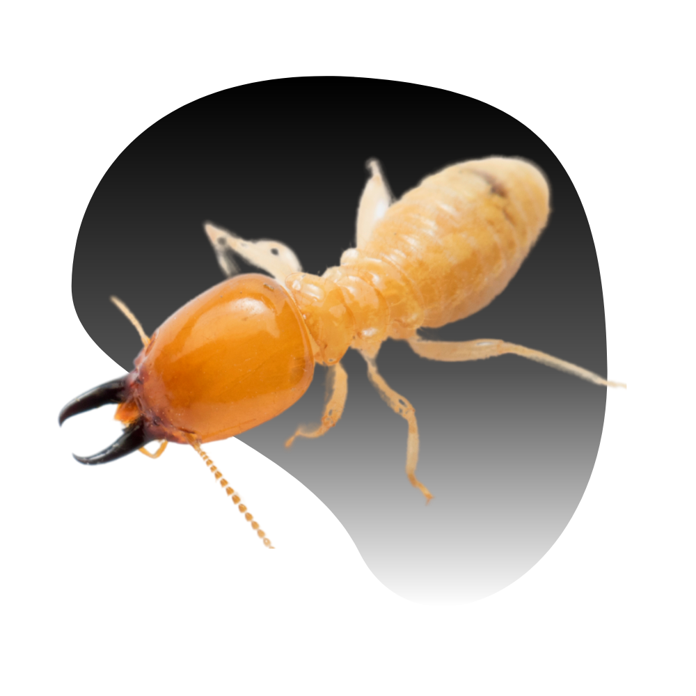 Las Vegas Termite Treatment Services