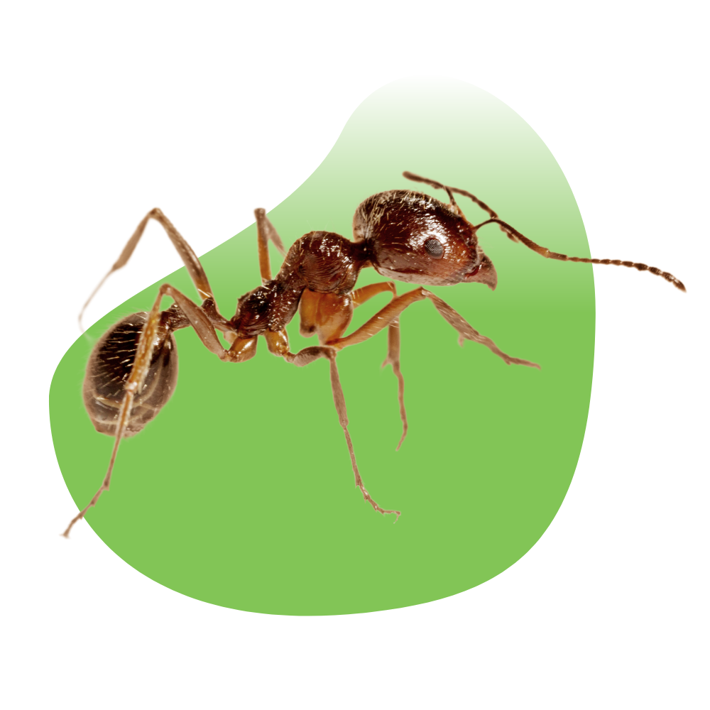 Las Vegas Ant Control and Removal Services