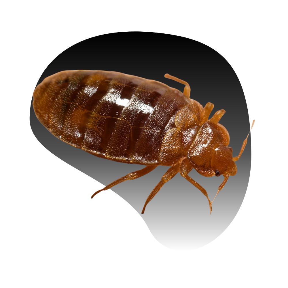 Las Vegas Bed Bugs