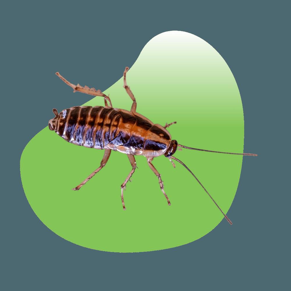 Cockroach Control & Extermination in Las Vegas