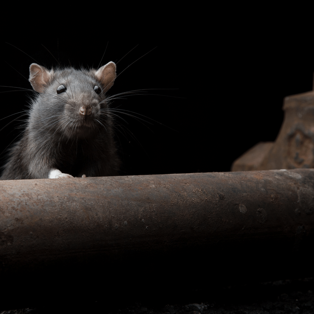 Diseases that Rats and Rodents Hold