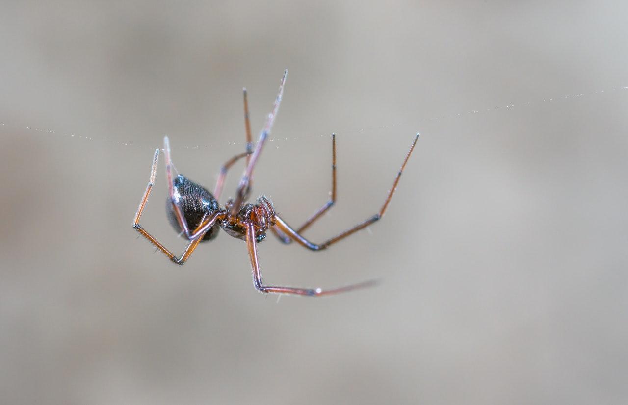 Types of Spiders in Las Vegas