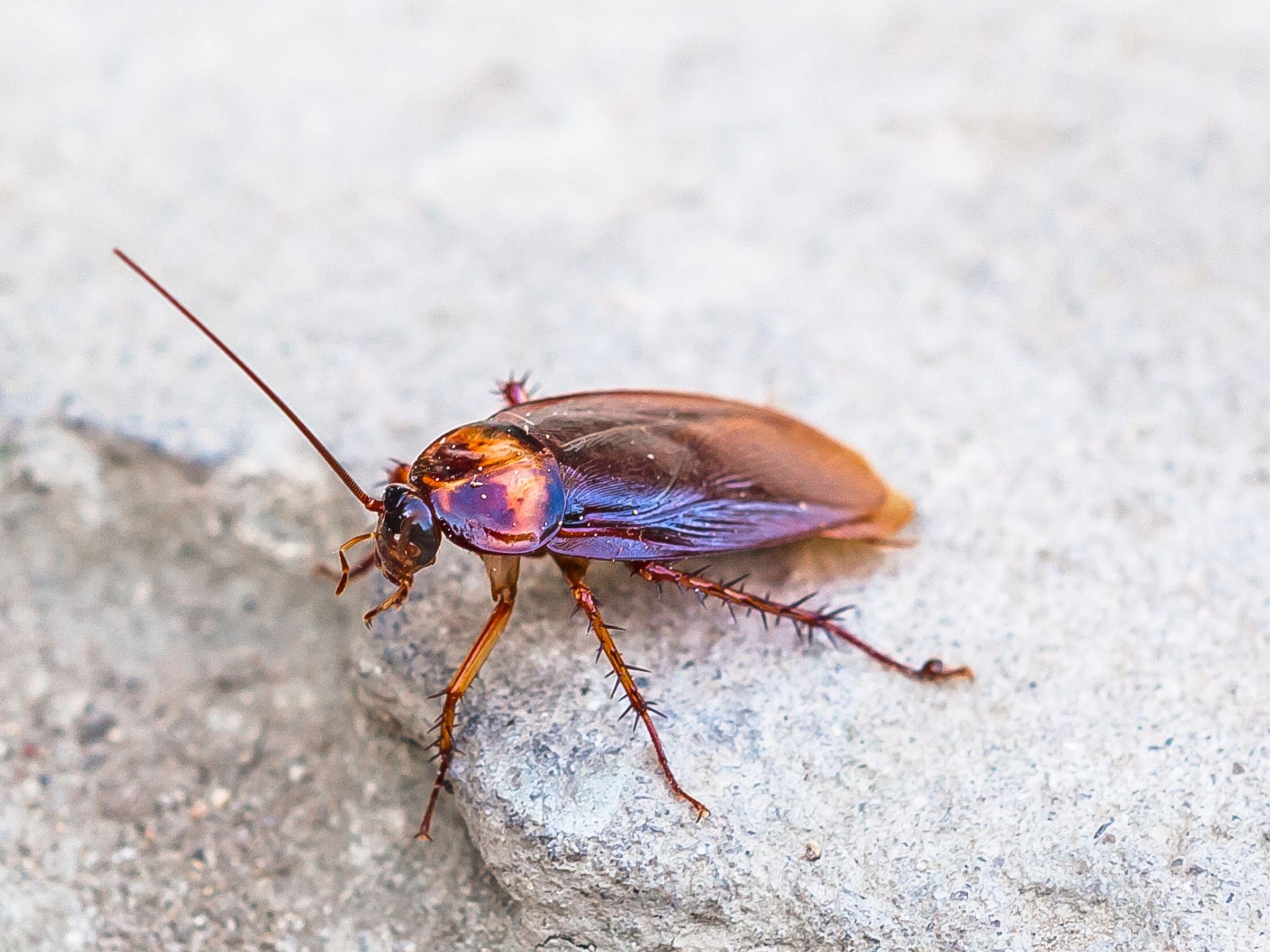 Indestructible Cockroach