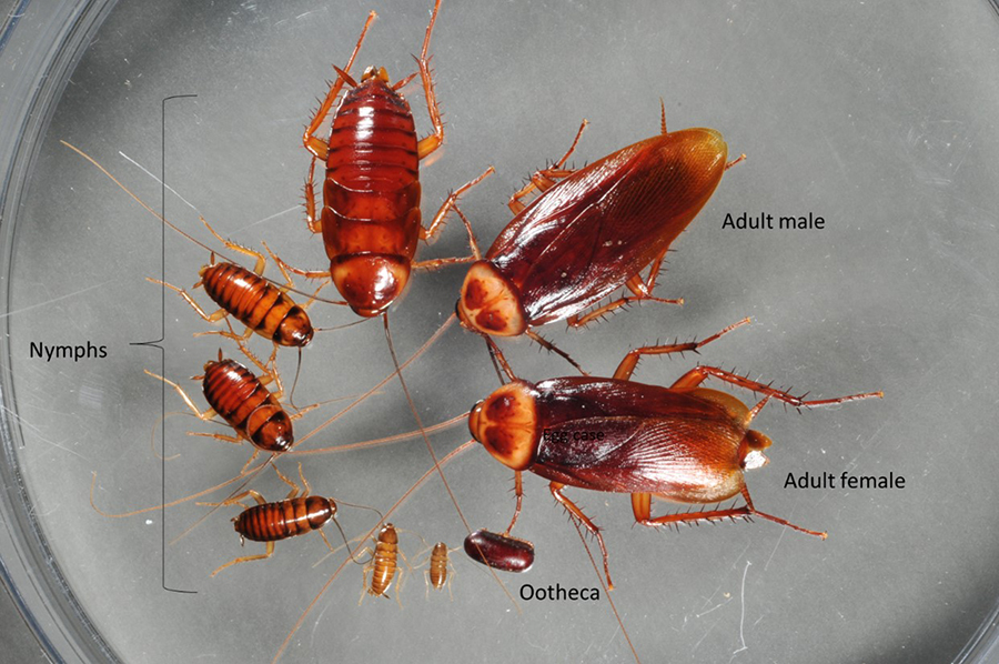Roach Lifecycle