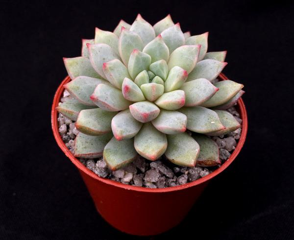 x Cremneria 'Expatriata' from Surreal Succulents