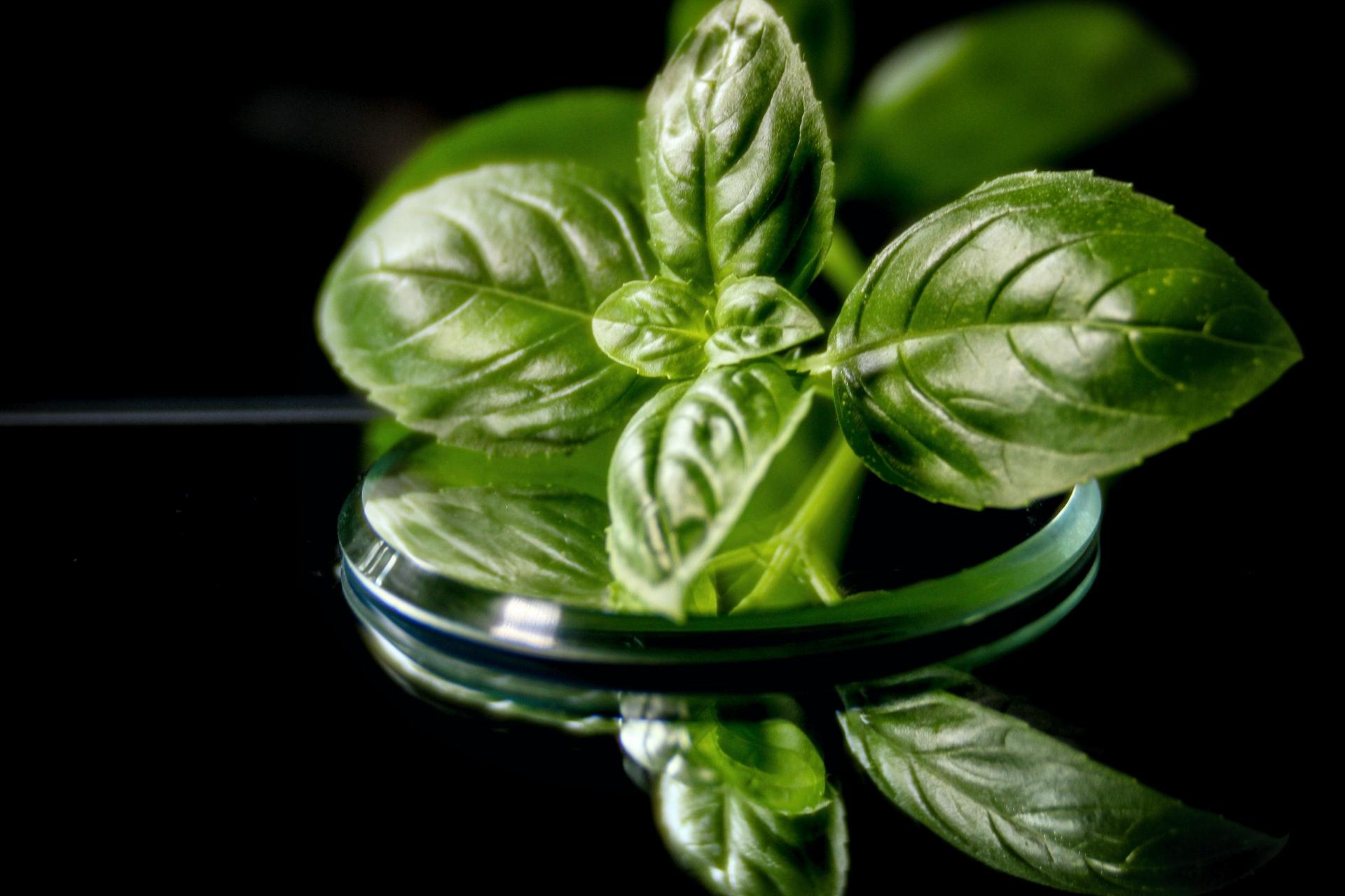 Herbes du jardin - Basilic