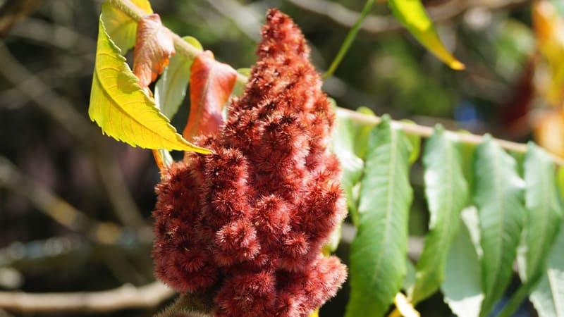 Le vinaigrier déplace le monde végétal indigène.