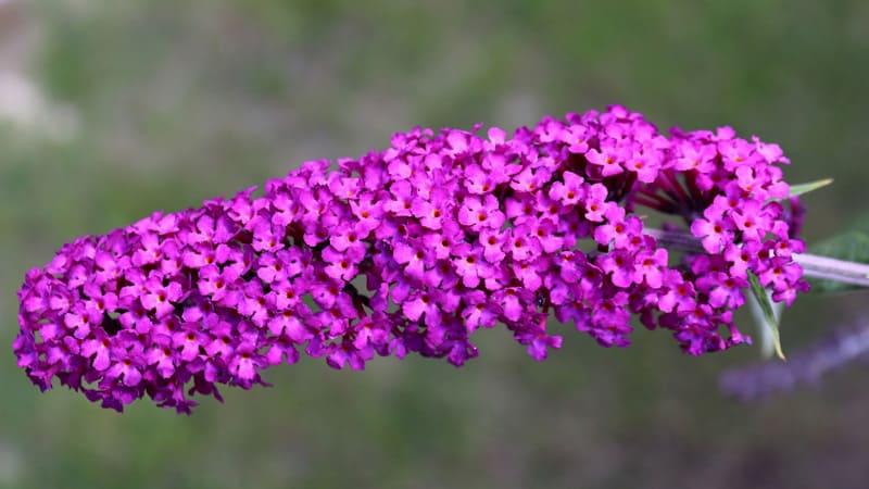Le Buddleja, également connu sous le nom de lilas d'été, est l'un des néophytes les plus courants dans les jardins suisses