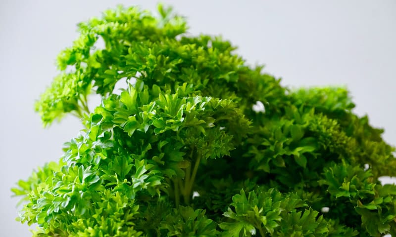 Herbes du jardin - Persil