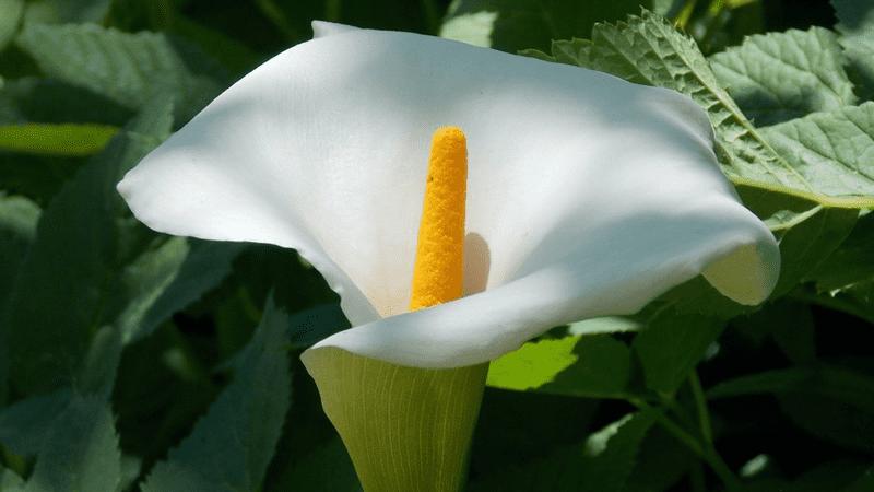 La Fleur de lune est toxique mais filtre les polluants et particules