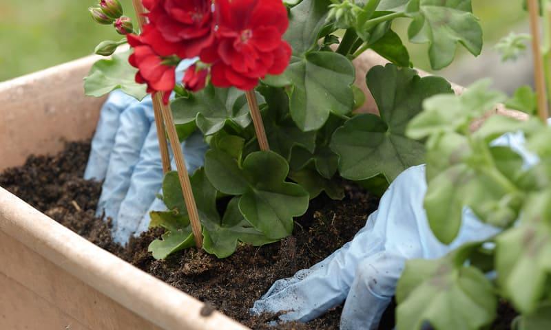 Rempoter à la main les géraniums rouges